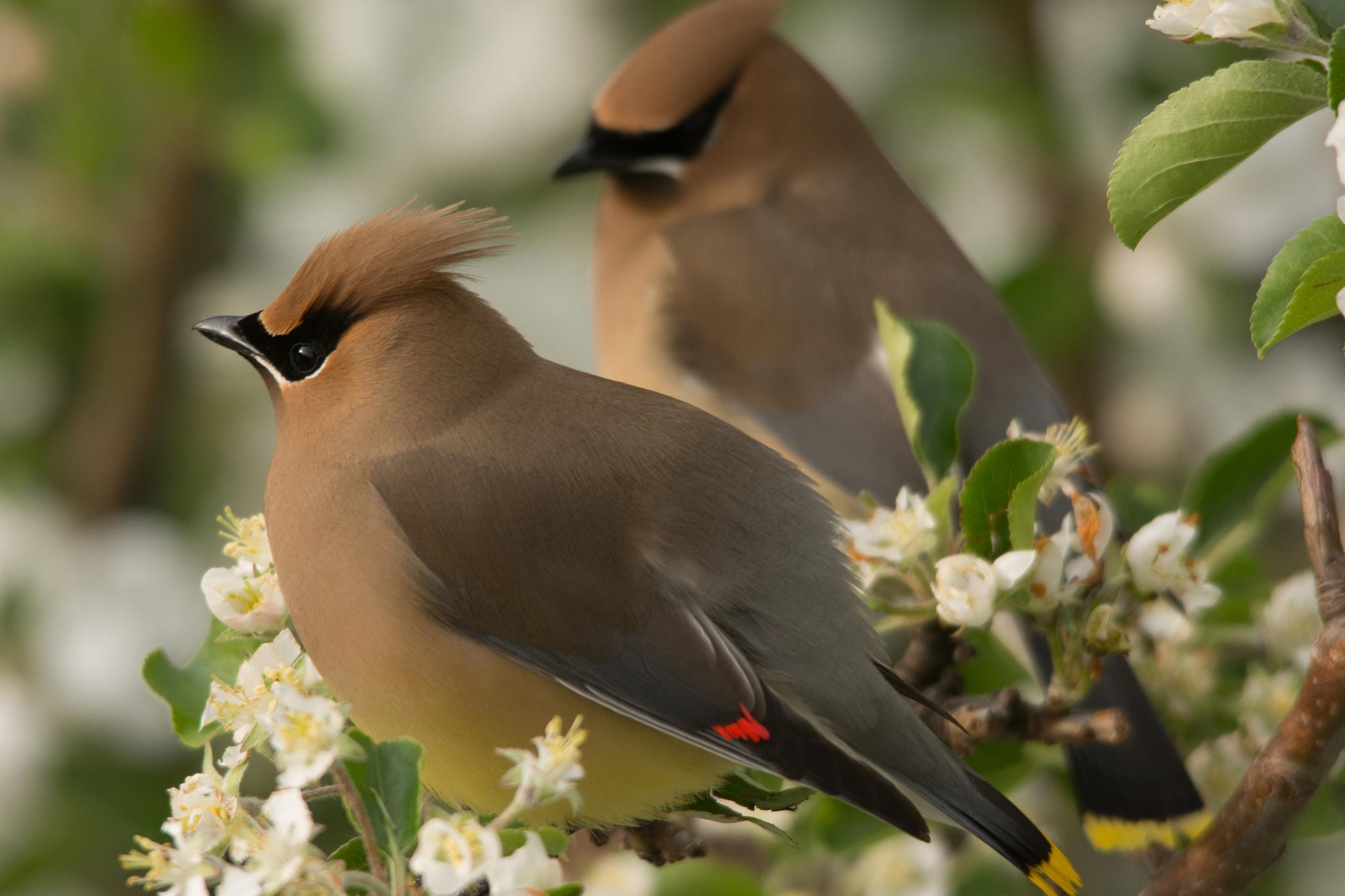 Air Sac Mites in Birds