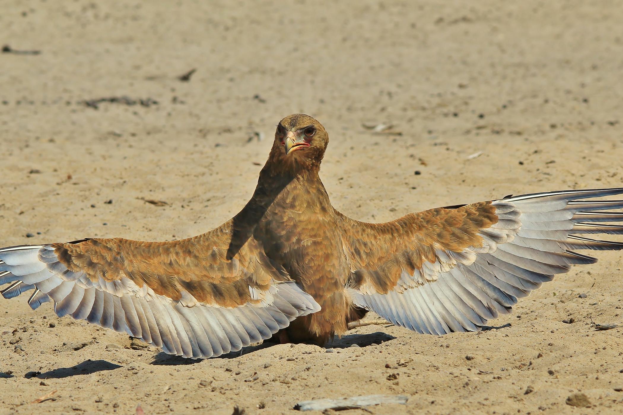 Angel Wing in Birds