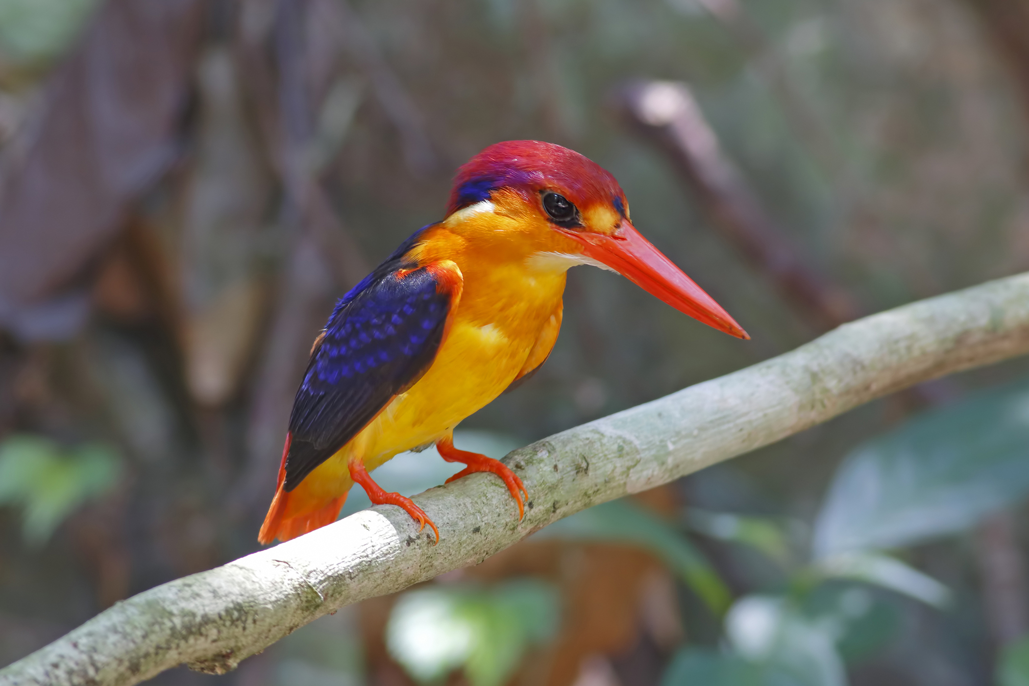 Arthritis in Birds