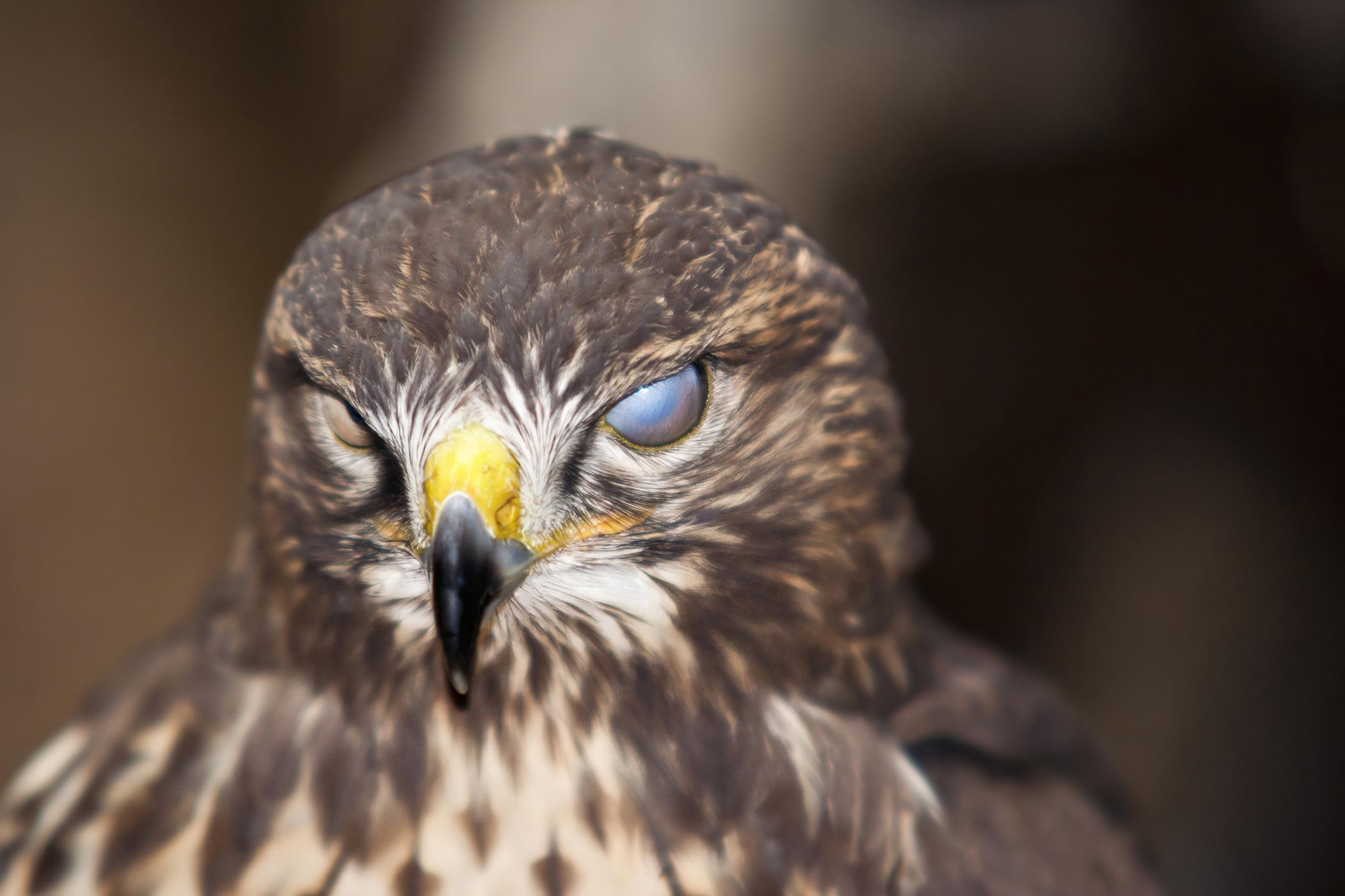 Blindness in Birds