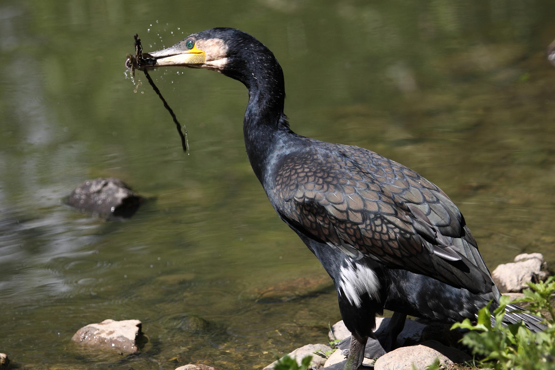 Blocked Gizzard in Birds
