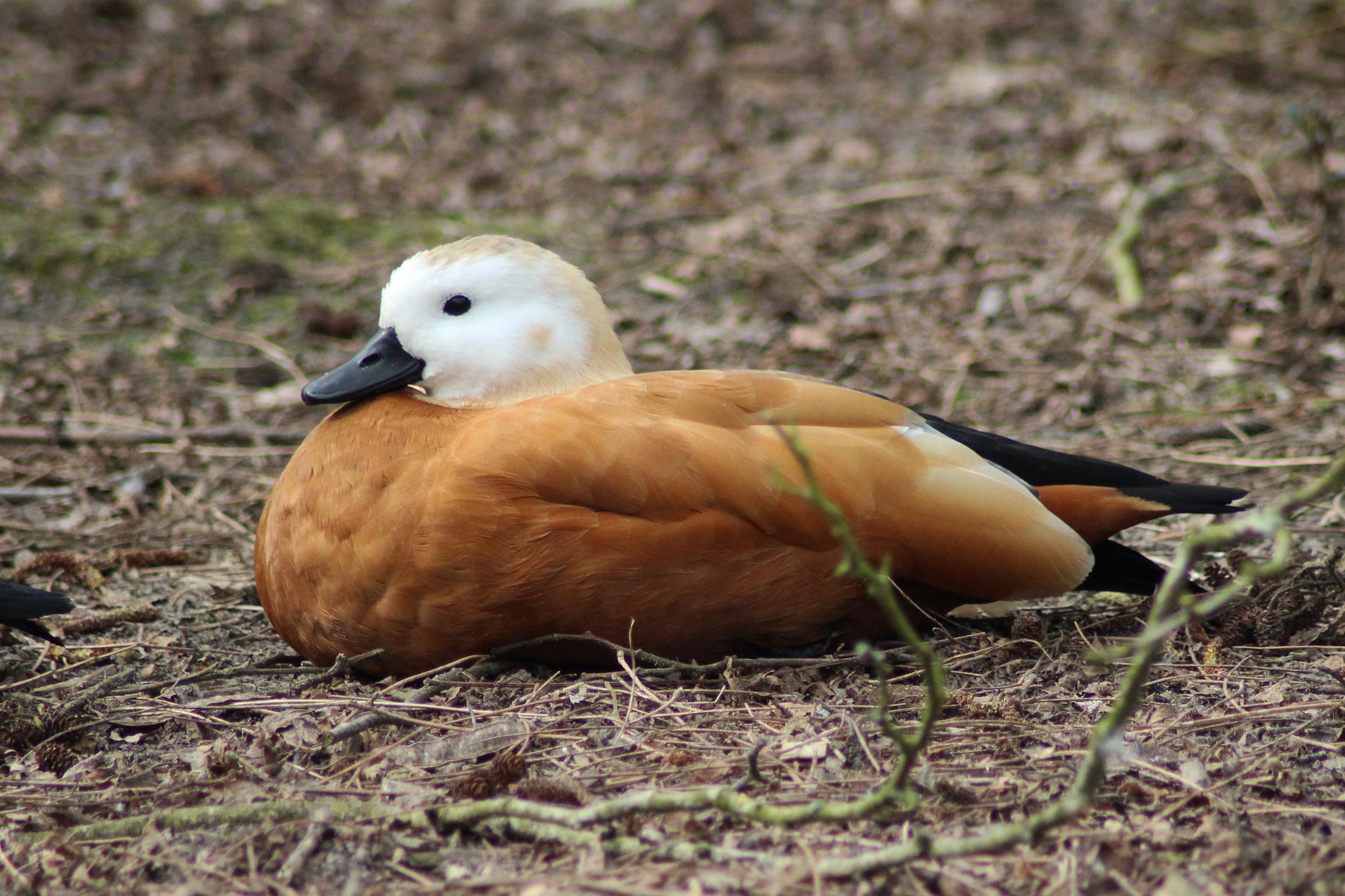 Bornavirus in Birds