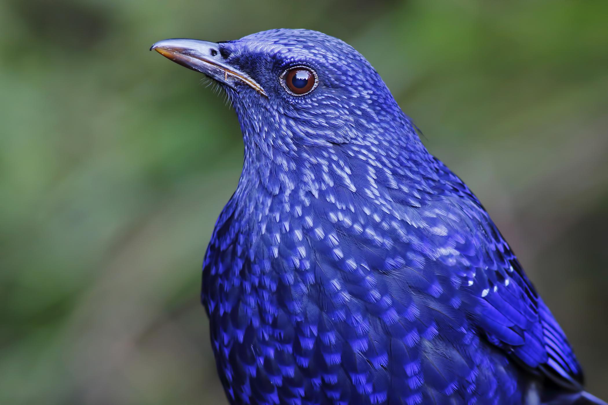 Candidiasis in Birds