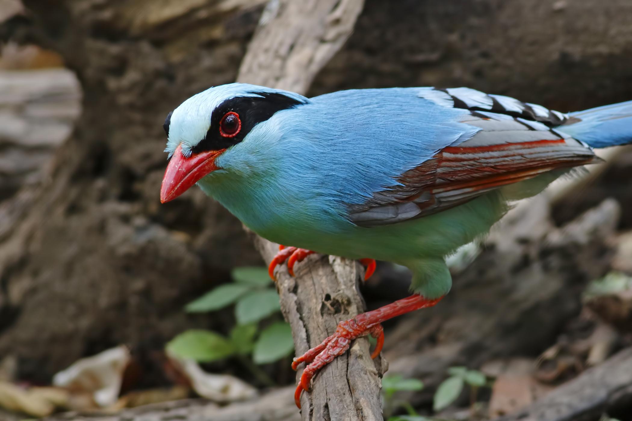 Cloacal Prolapse in Birds