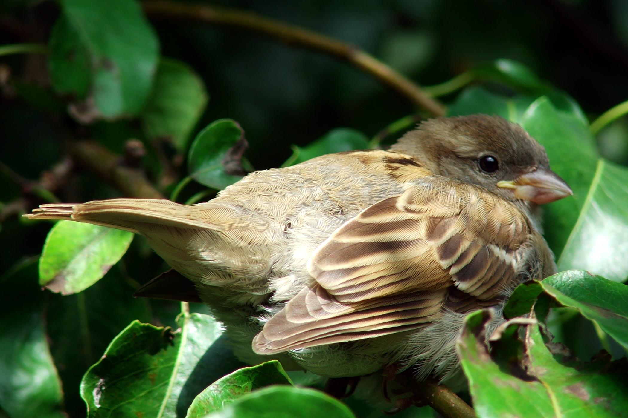 Coccidiosis in Birds