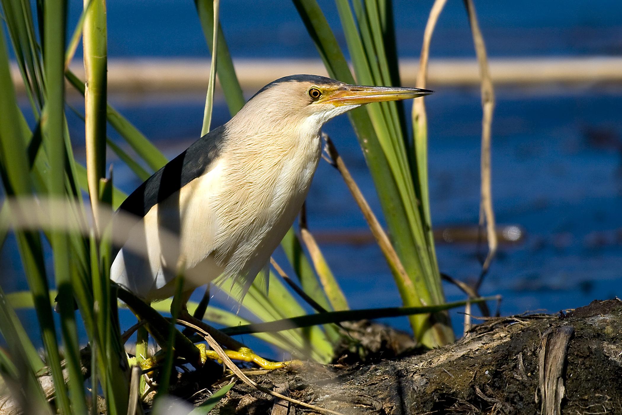Cryptophthamia (Eyelid Atresia)  in Birds