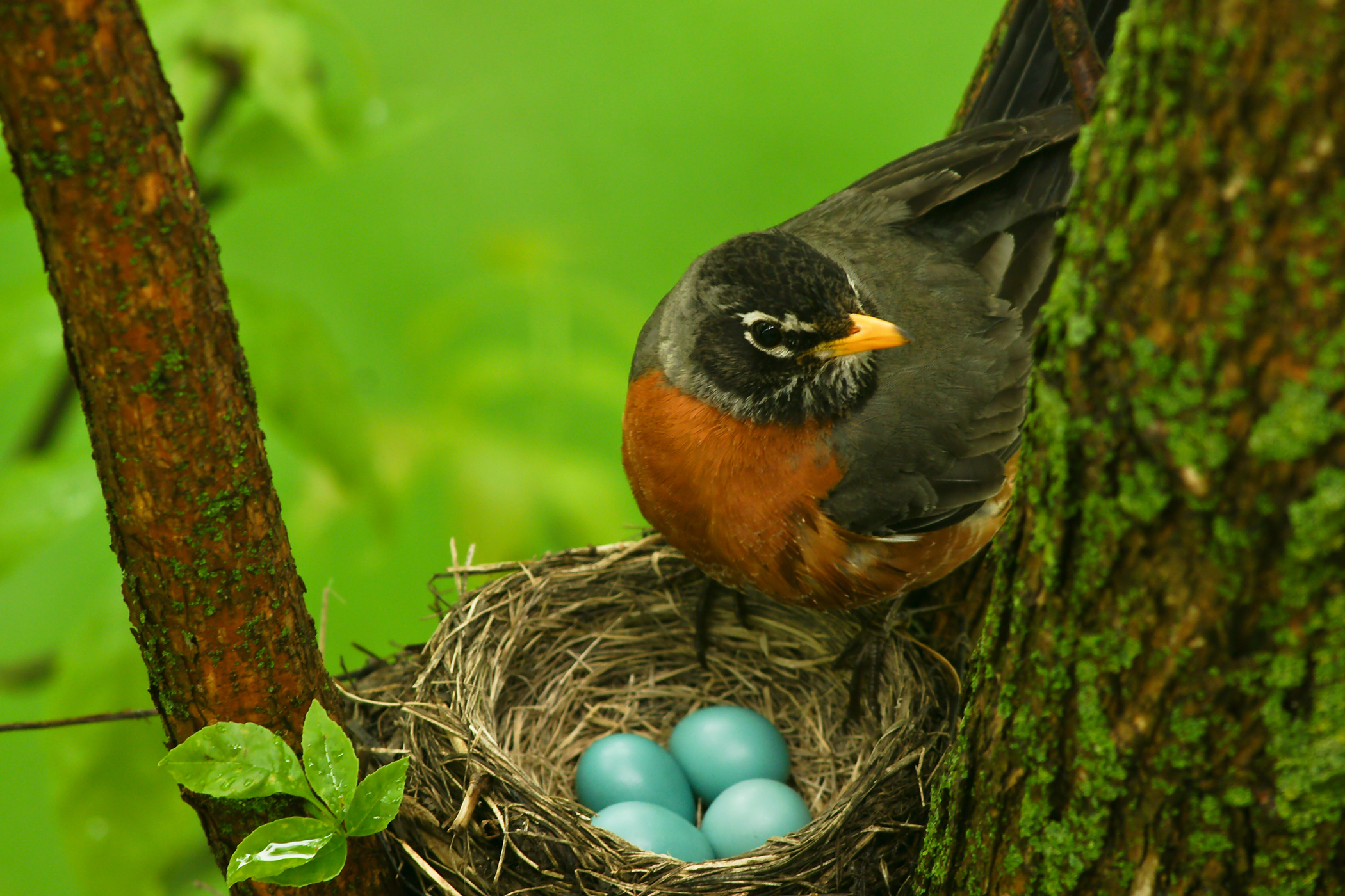 Egg Binding in Birds - Symptoms, Causes, Diagnosis, Treatment, Recovery, Management, Cost
