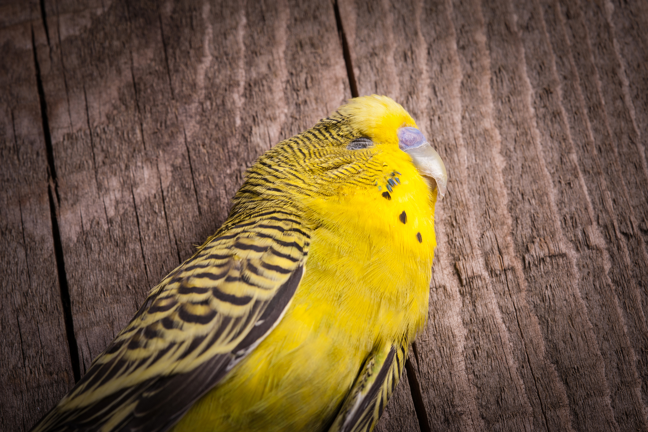 Egg Yolk Peritonitis in Birds