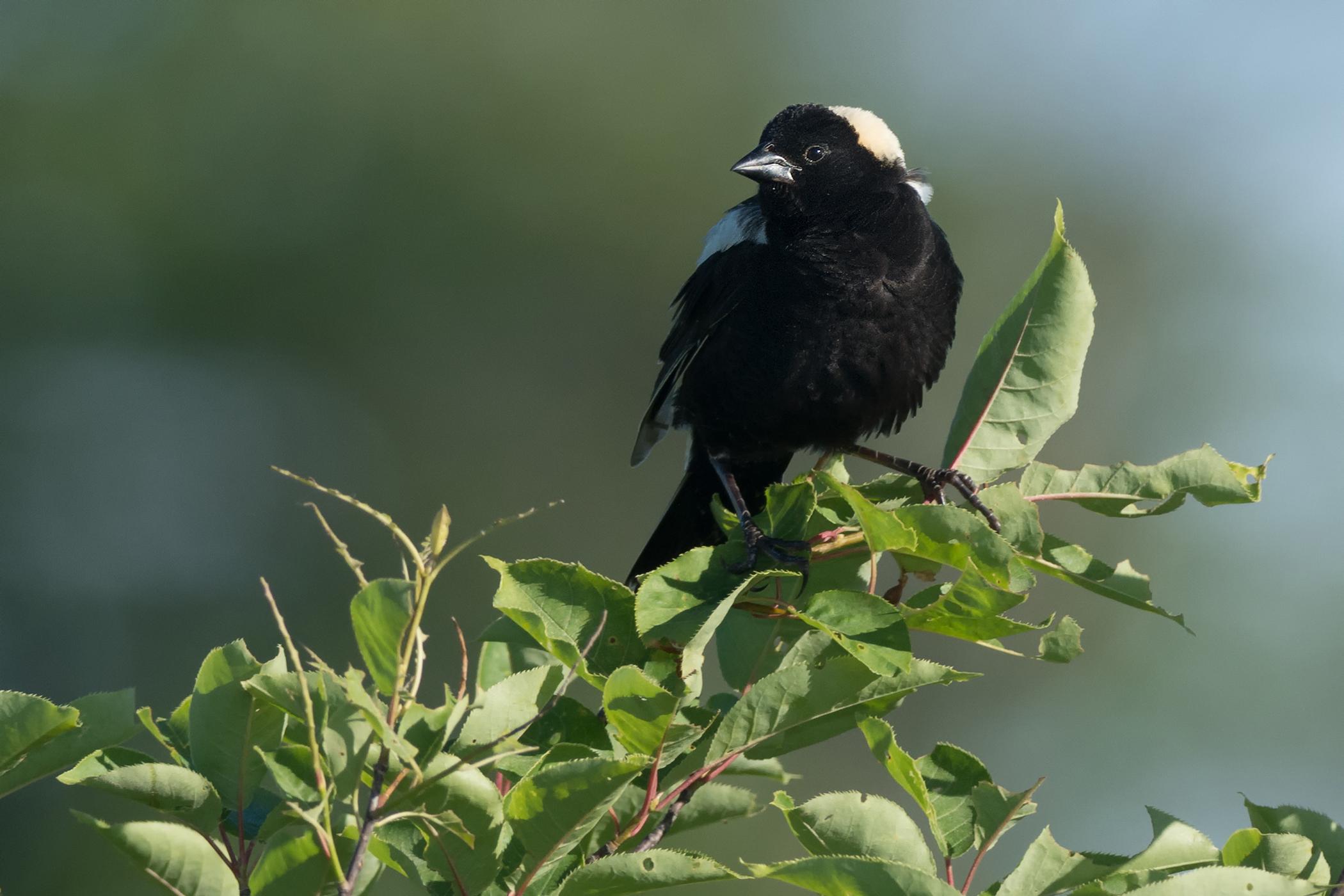 Fibrosarcoma in Birds