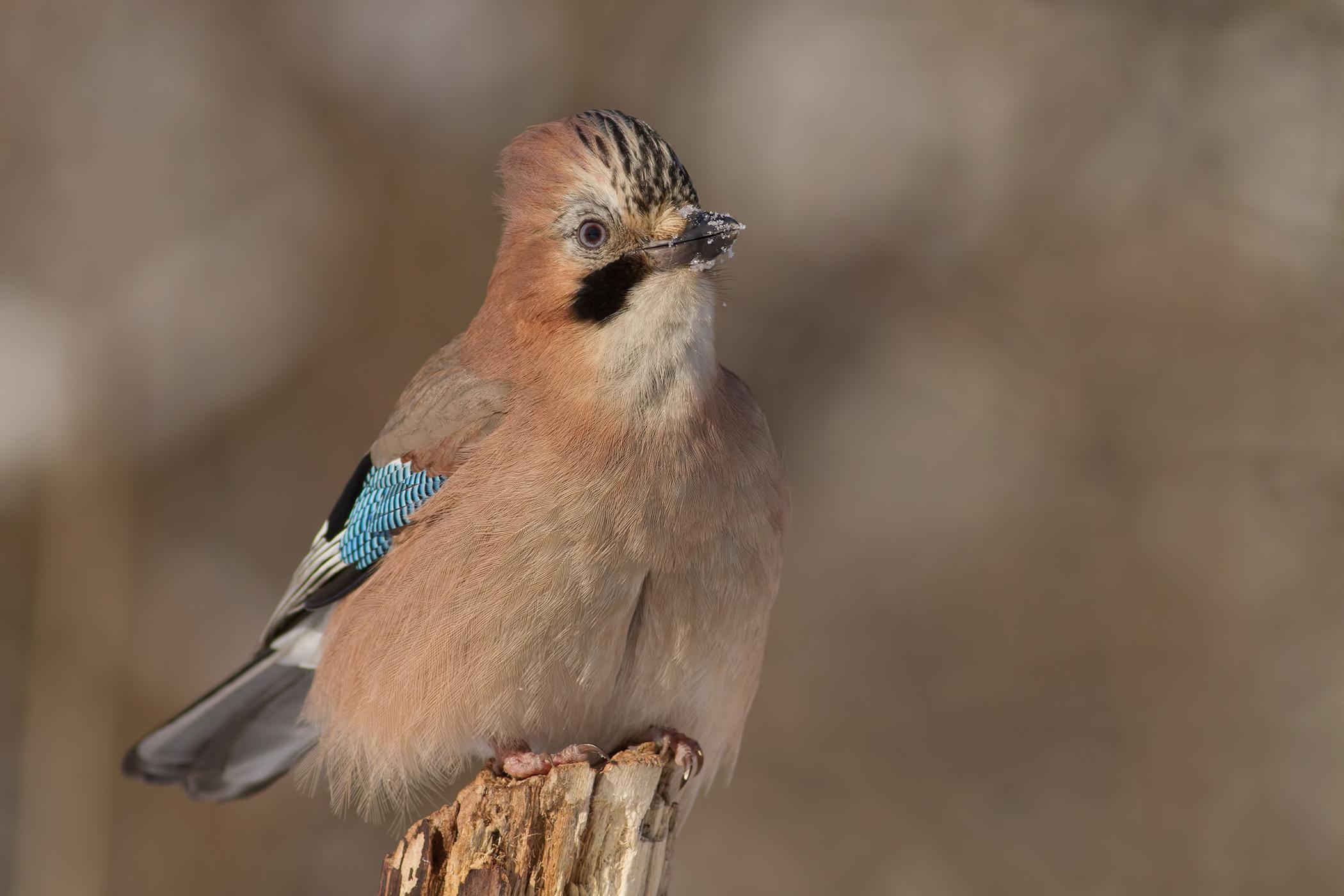 Giardiasis in Birds