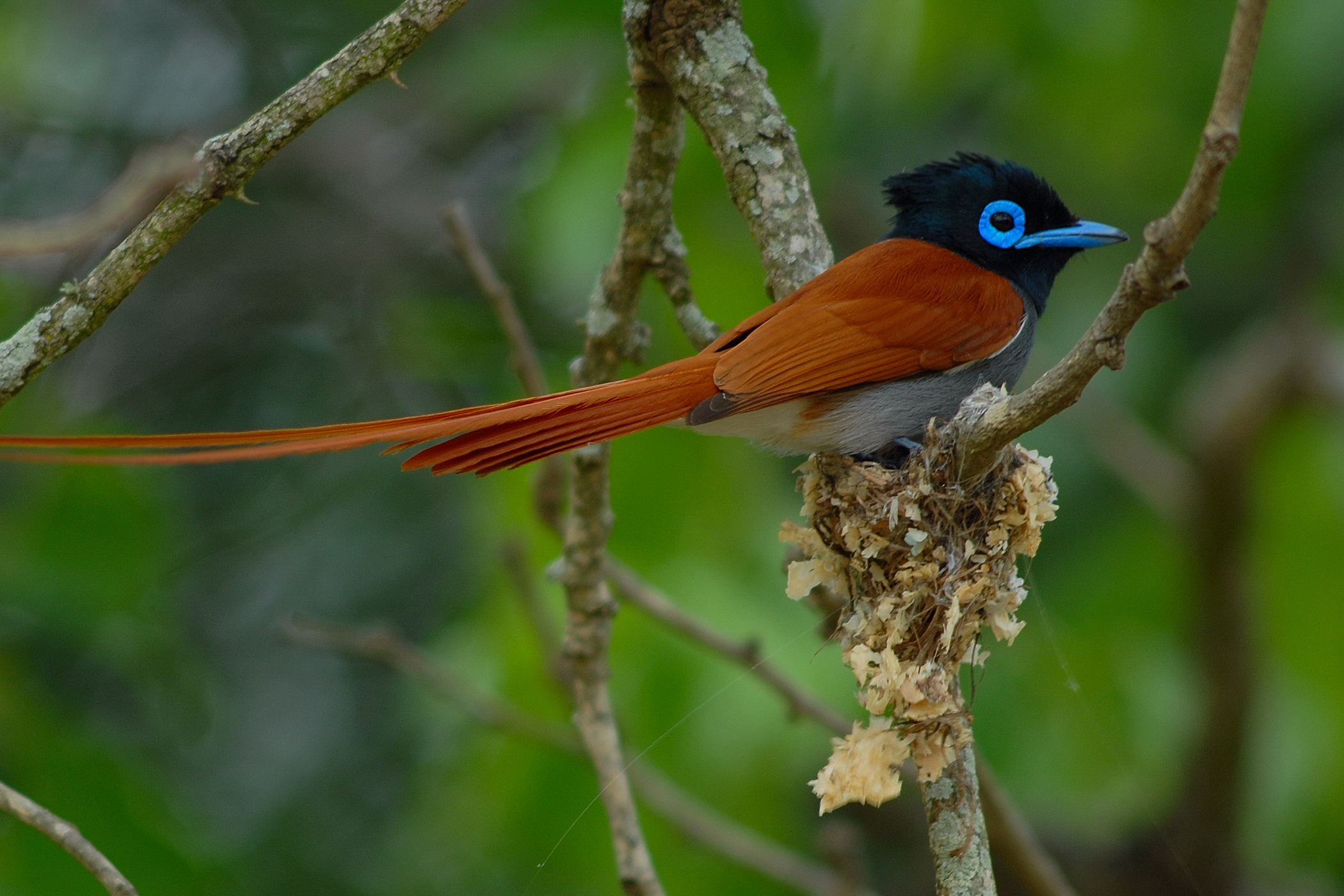Iron Storage Disease in Birds