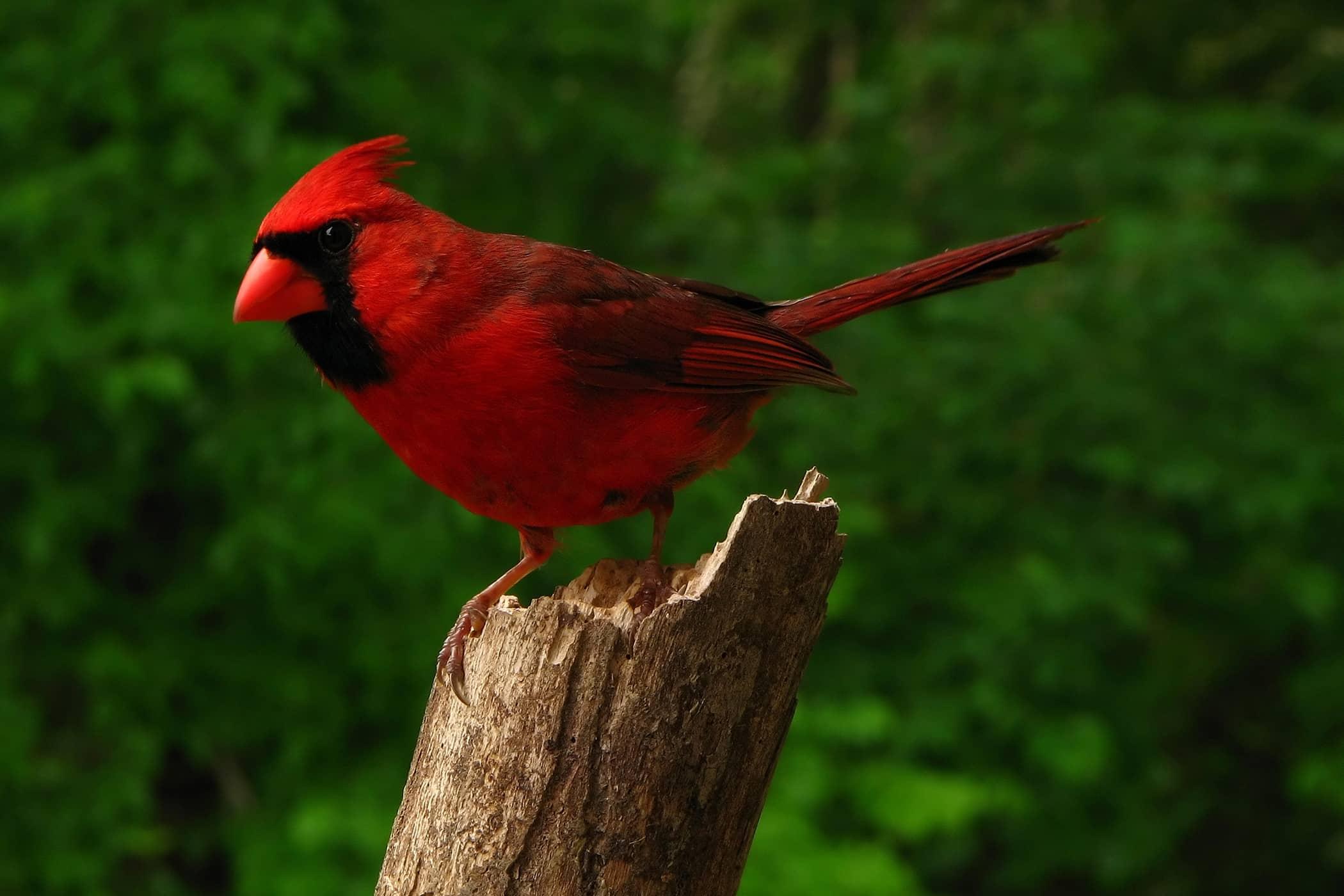 Marek's Disease in Birds