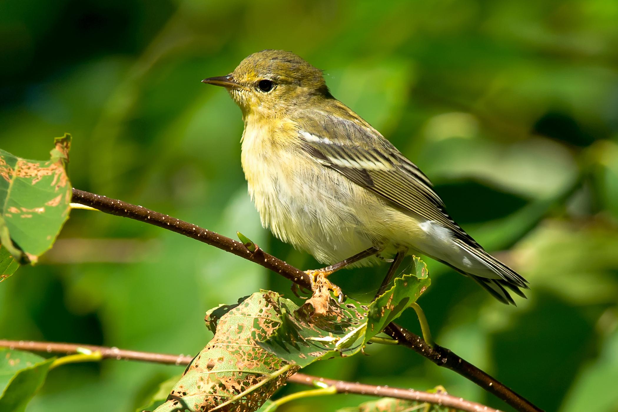 Melena in Birds