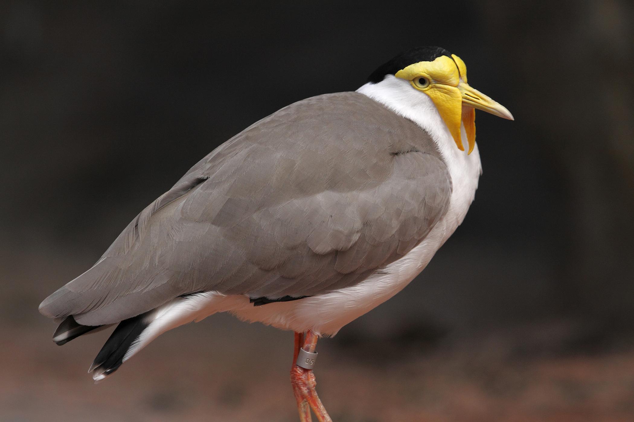 Obesity in Birds