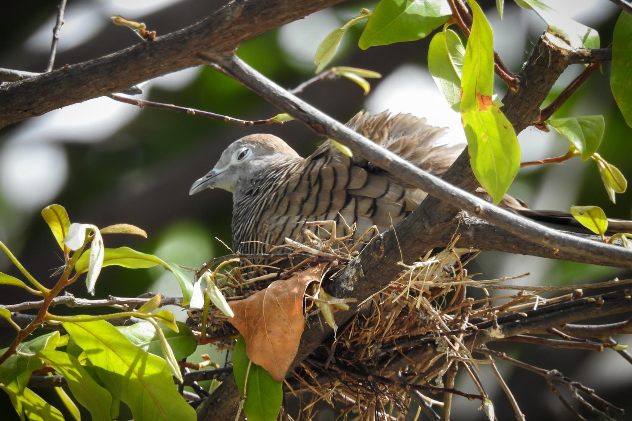 Pododermatitis in Birds