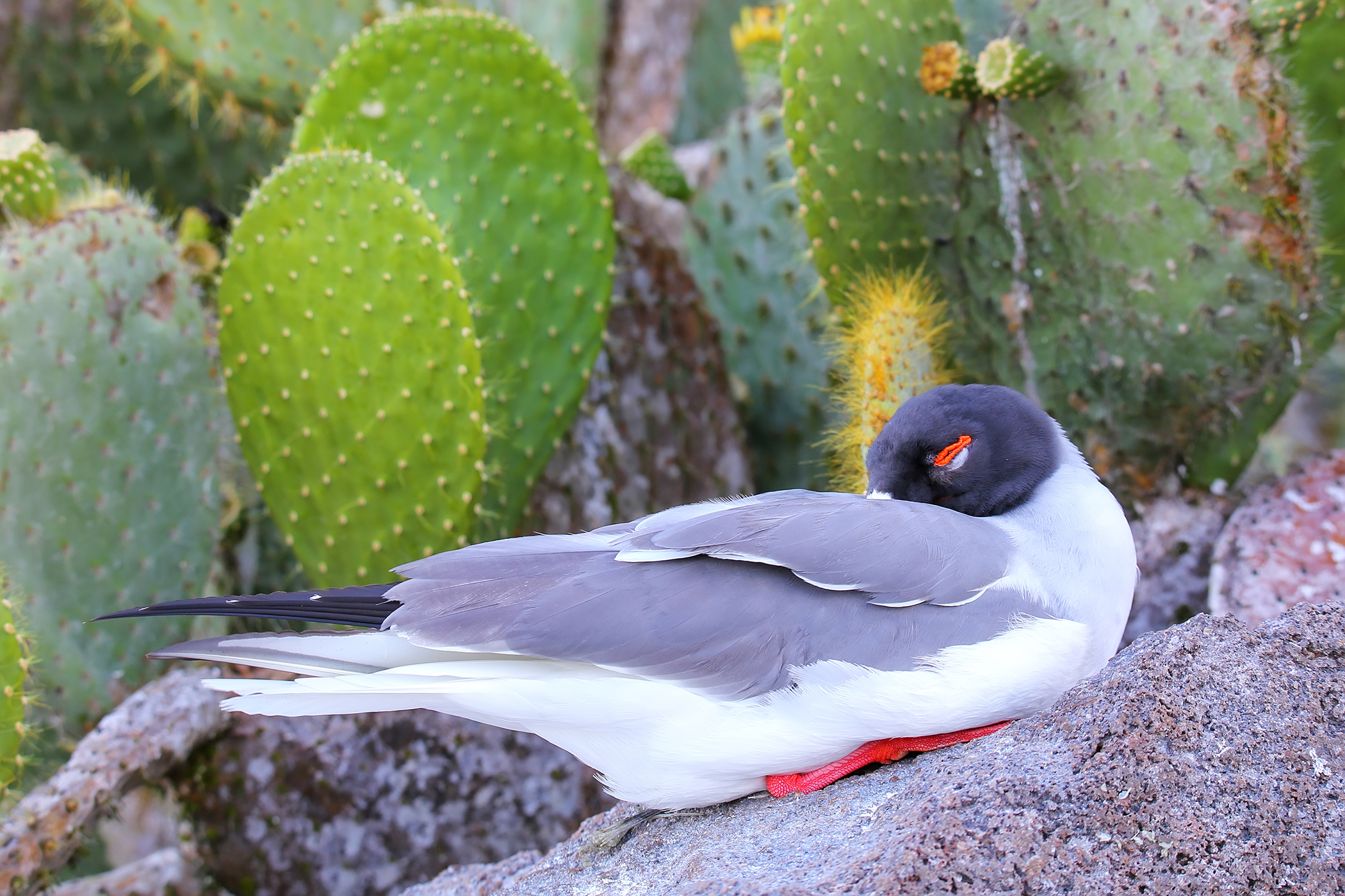 Polyomavirus (Non-budgerigar Psittacine) in Birds
