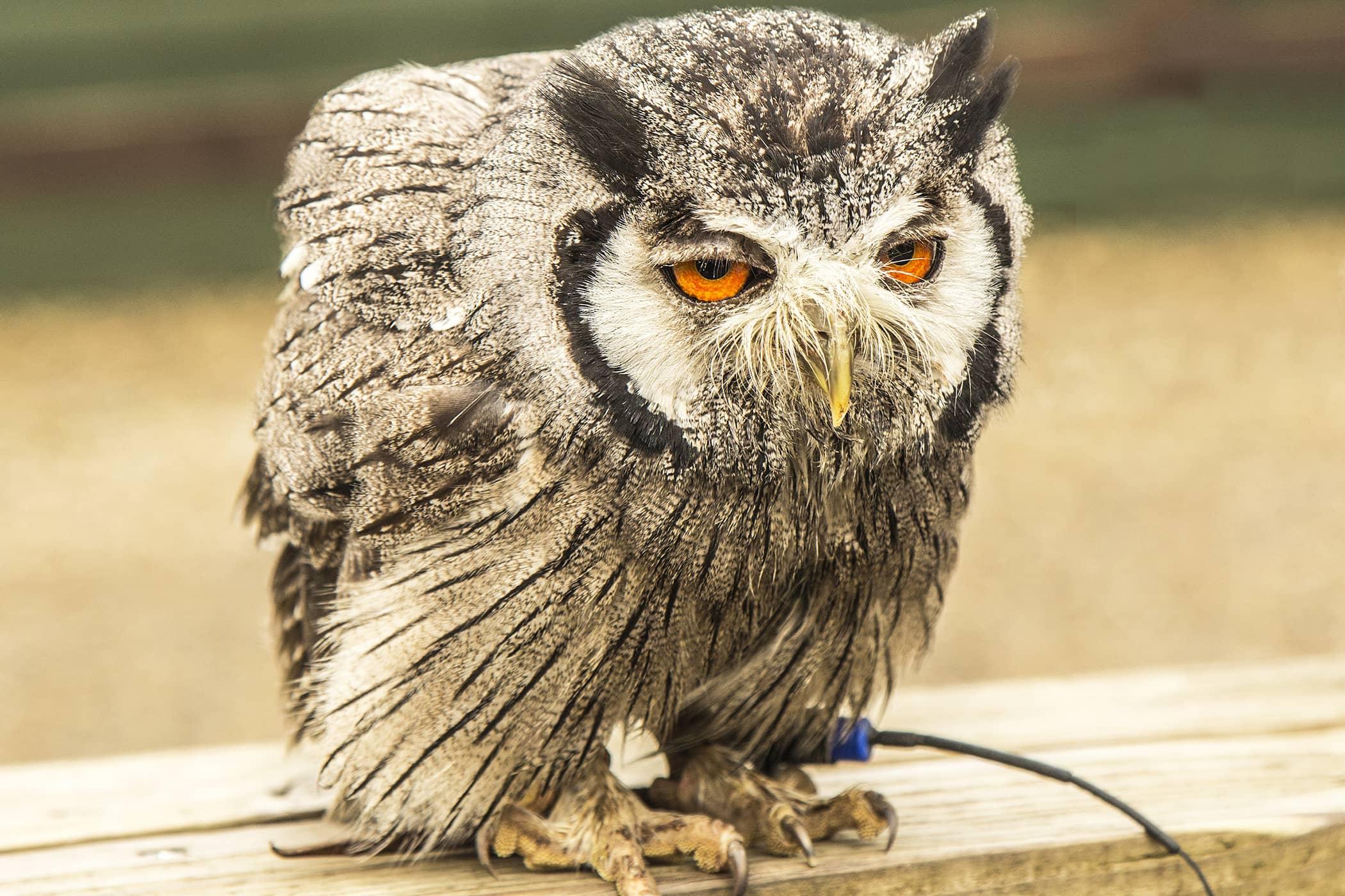 Prolapsed Cloaca in Birds