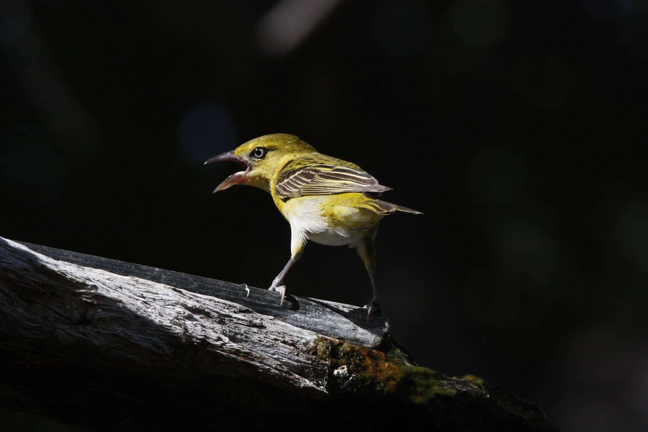 Respiratory Disease in Birds