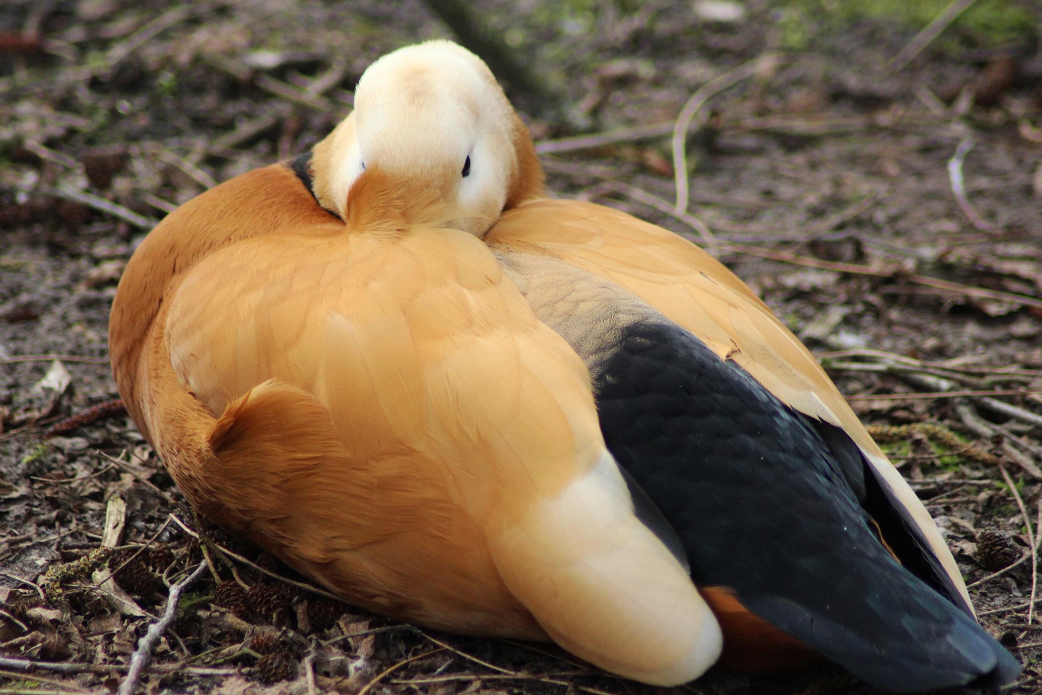 Sarcocystosis  in Birds