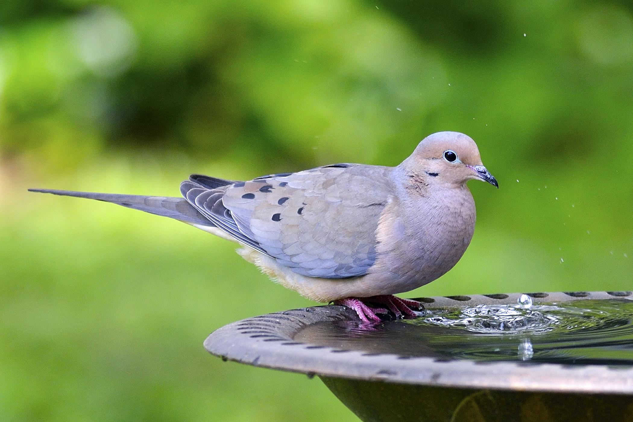 Scaly Leg Mite in Birds