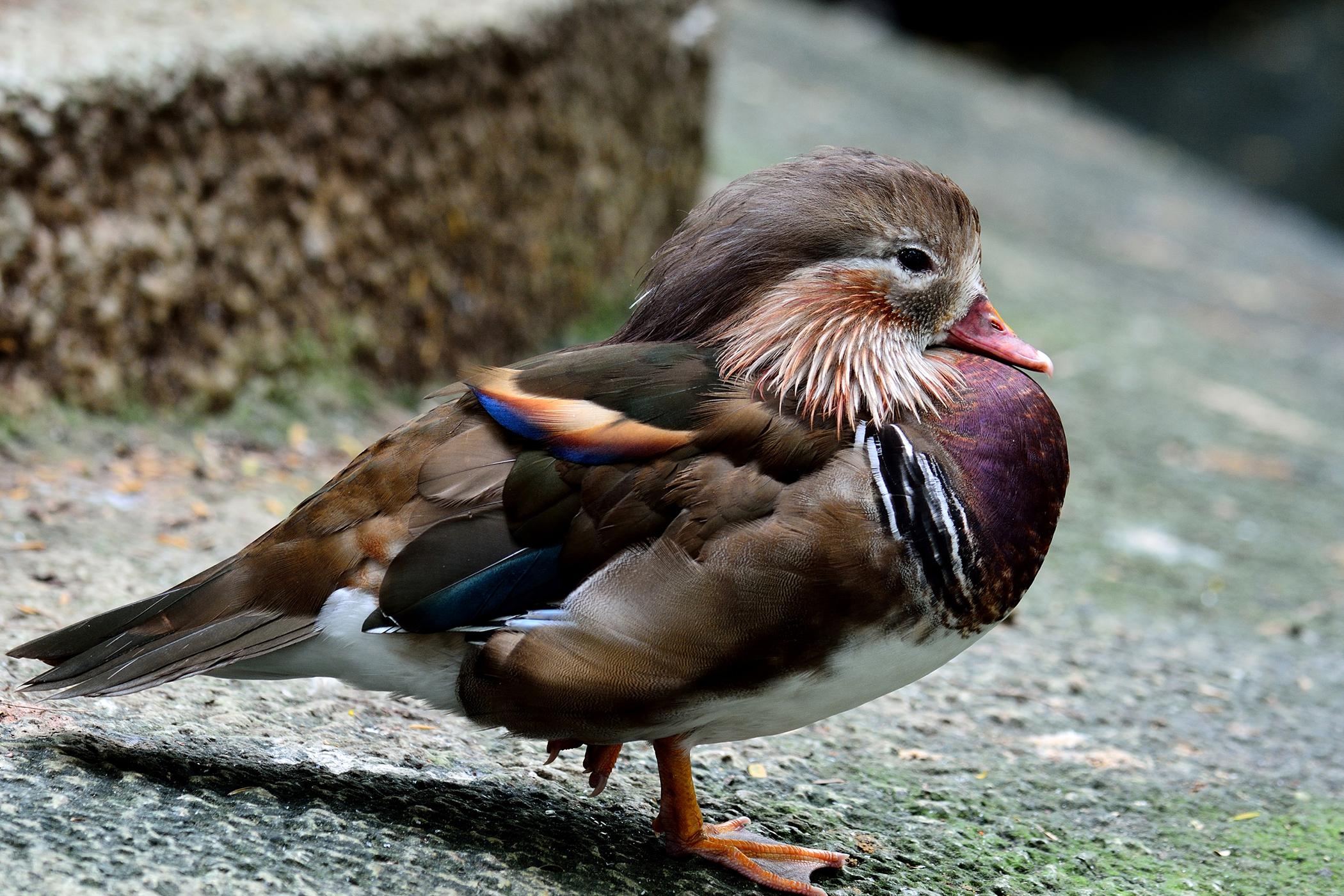 Trichomoniasis in Birds