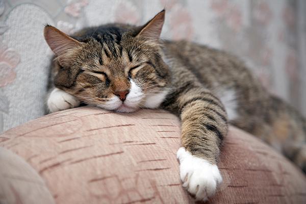 Acute Moist Dermatitis in Cats