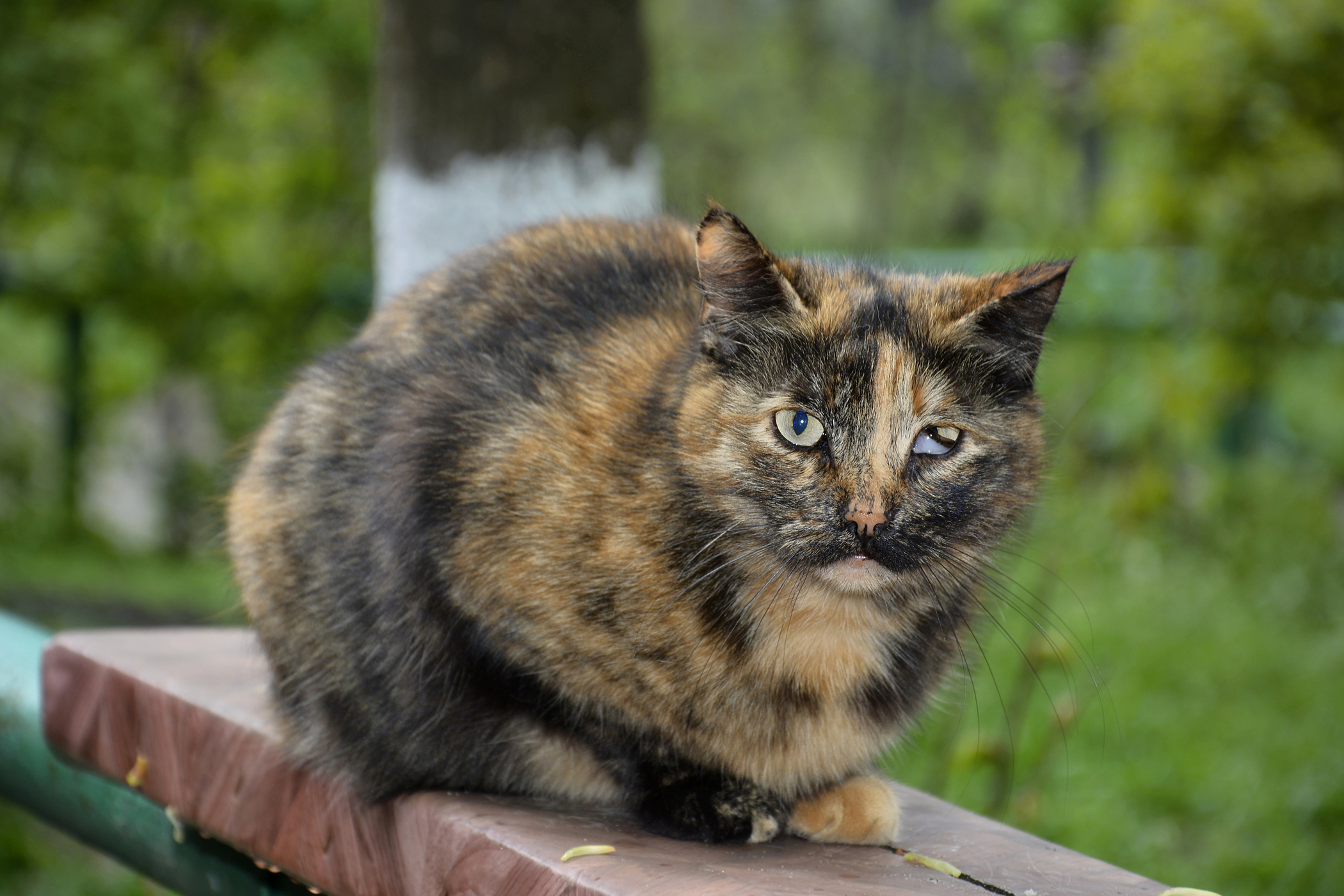 Acute Respiratory Distress Syndrome in Cats