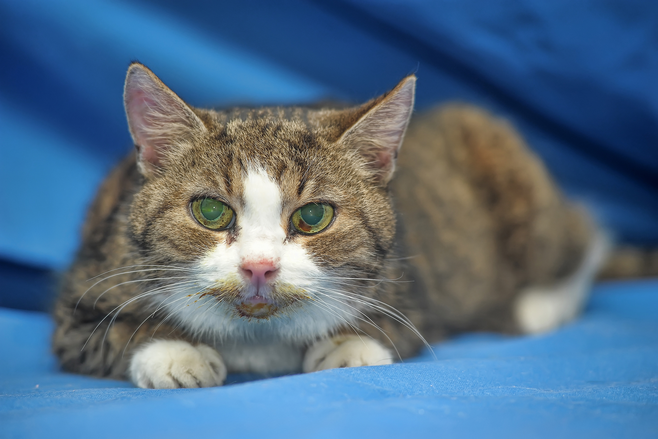 Adrenal Gland Cancer in Cats