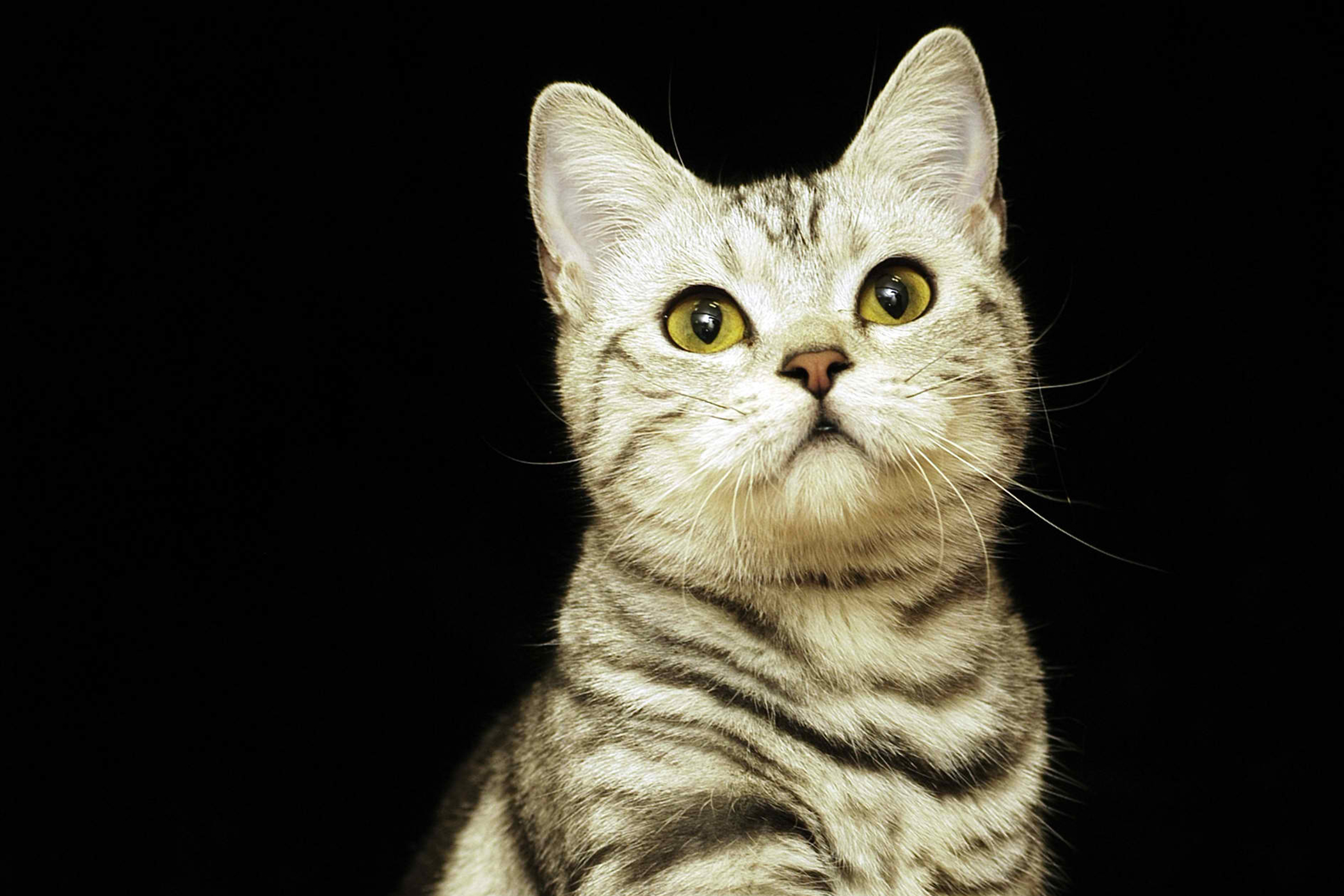 Allergic Shock in Cats