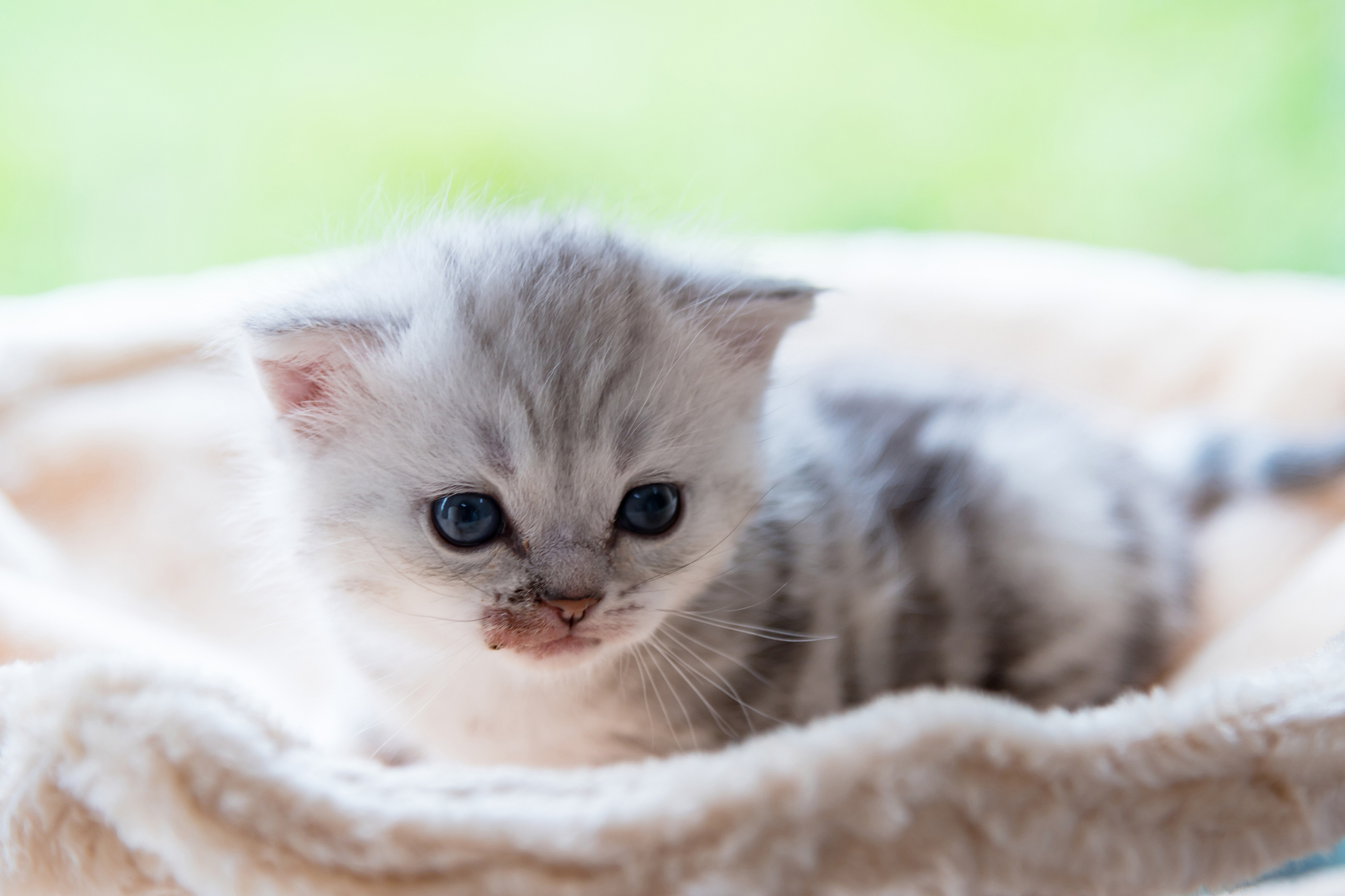 Ameba Infection in Cats
