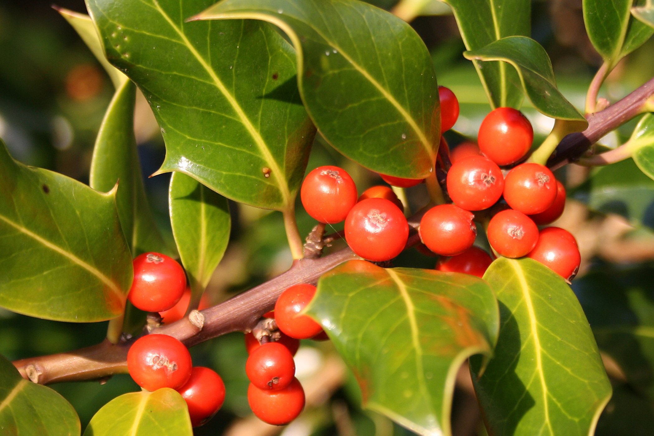 American Holly Poisoning in Cats