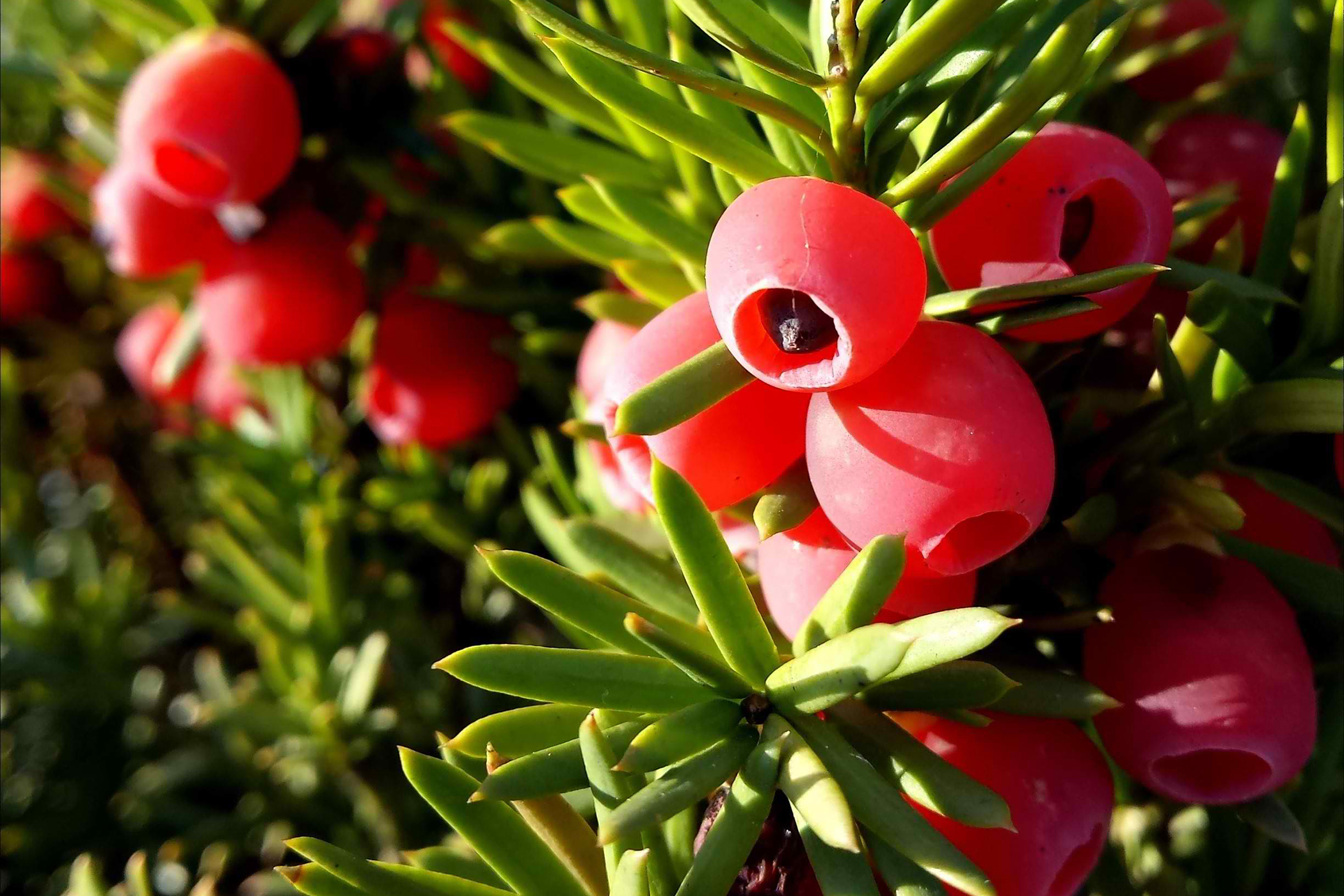 American Yew Poisoning in Cats