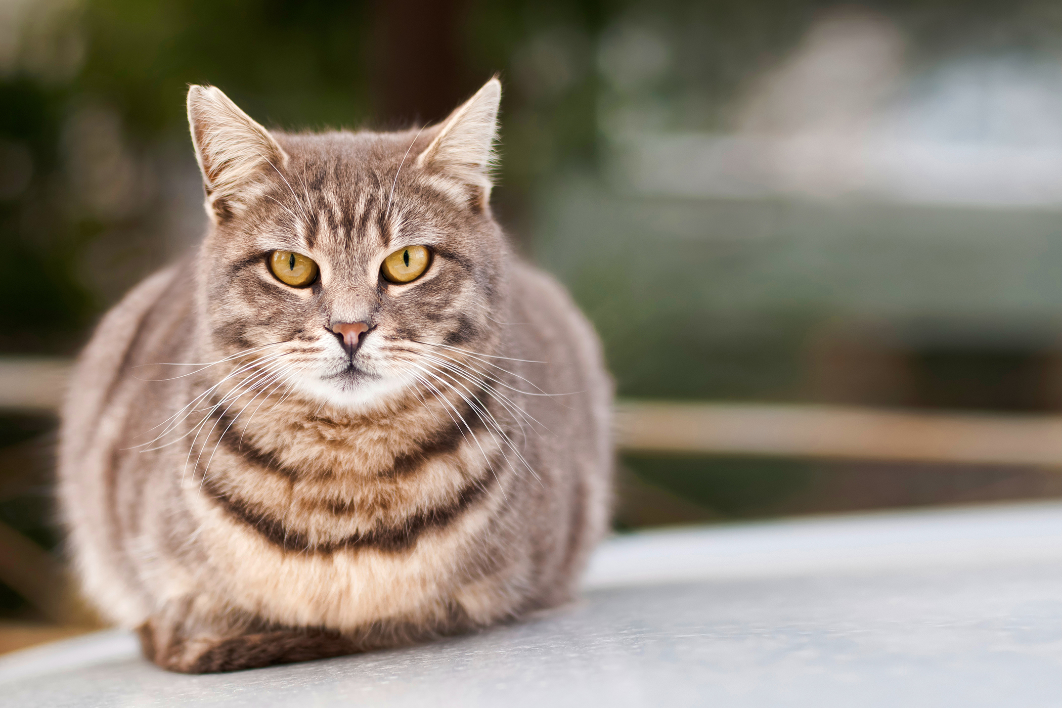 Amoxicillin Allergy in Cats - Symptoms, Causes, Diagnosis, Treatment, Recovery, Management, Cost