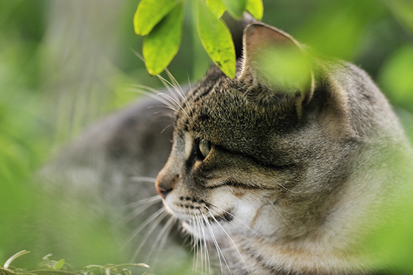 Amyloidosis in Cats
