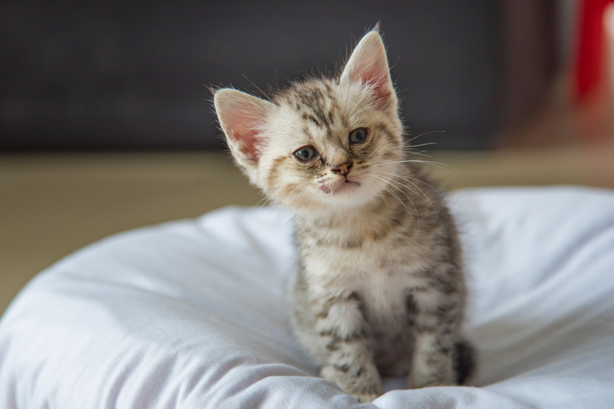 Anemia Due to Iron Deficiency in Cats