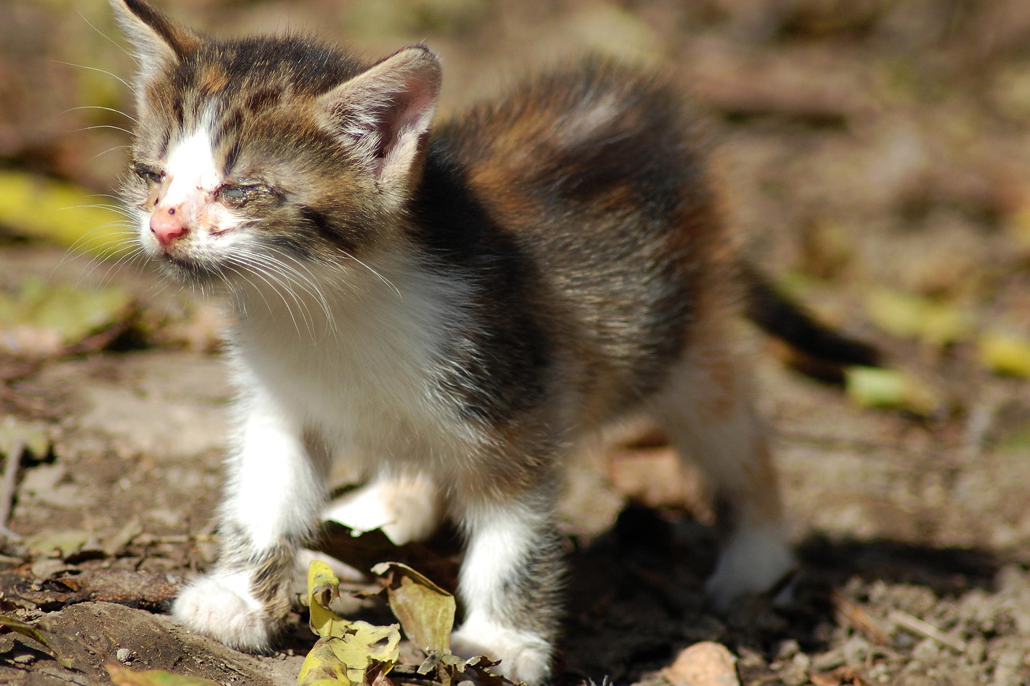 Aplastic Anemia in Cats