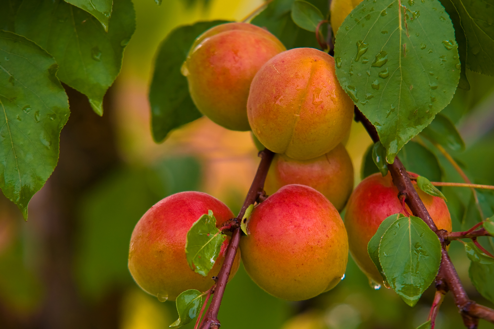 Apricot Poisoning in Cats