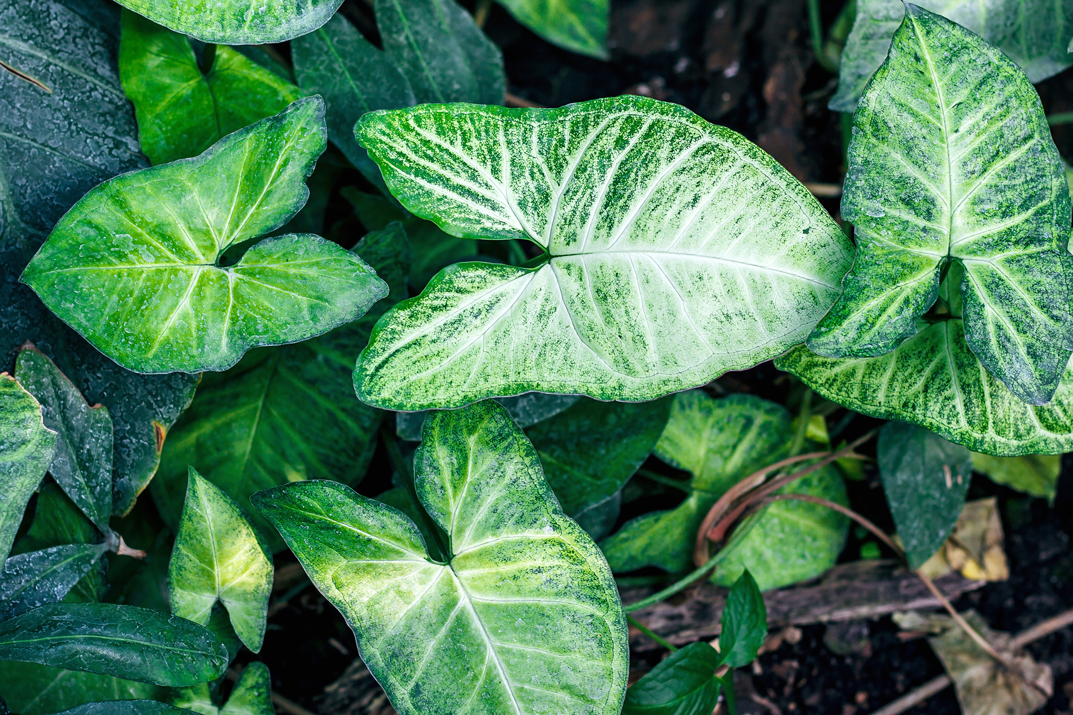 Arrowhead Vine Poisoning in Cats