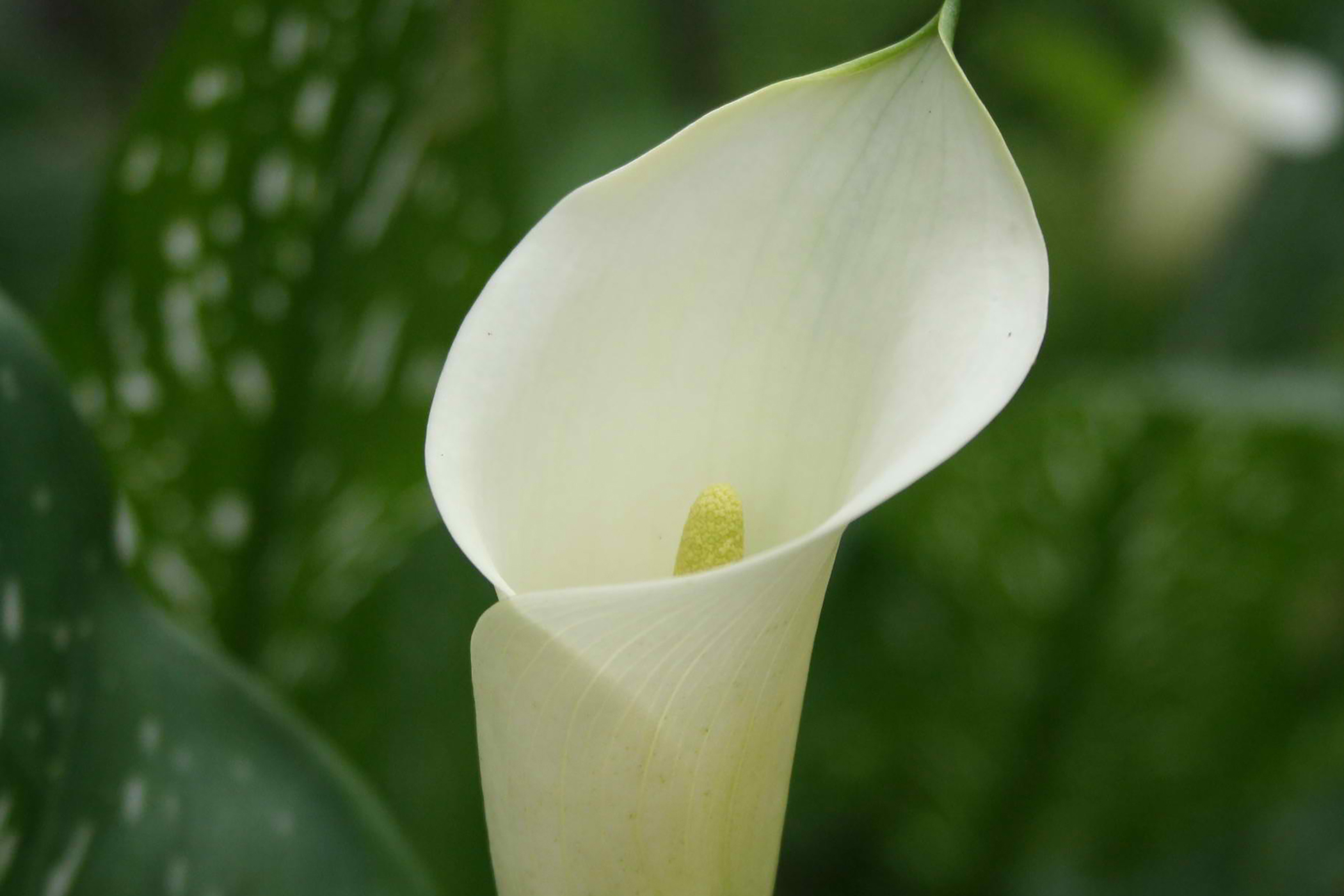 Arum Lily Poisoning in Cats