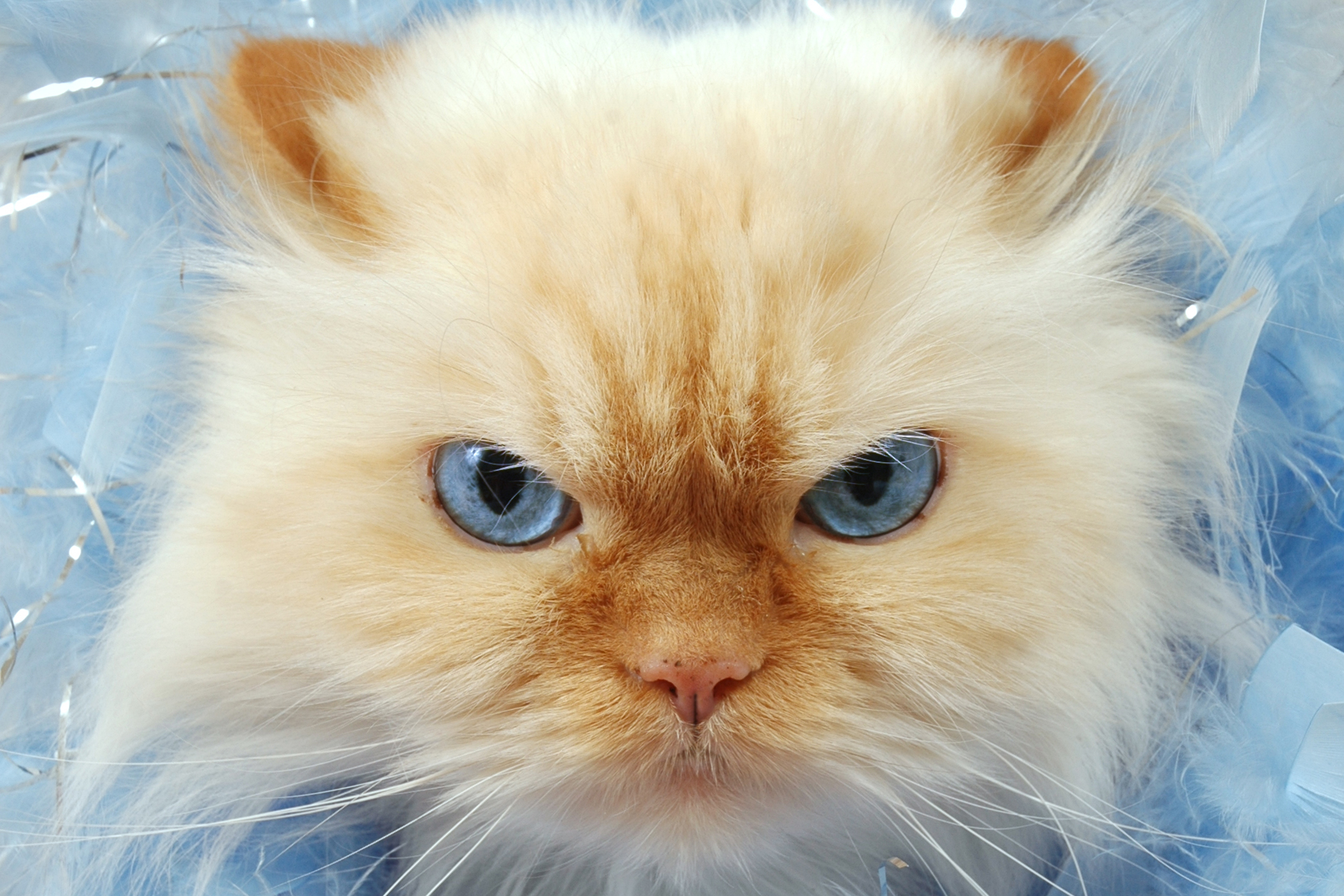 Babesiosis in Cats