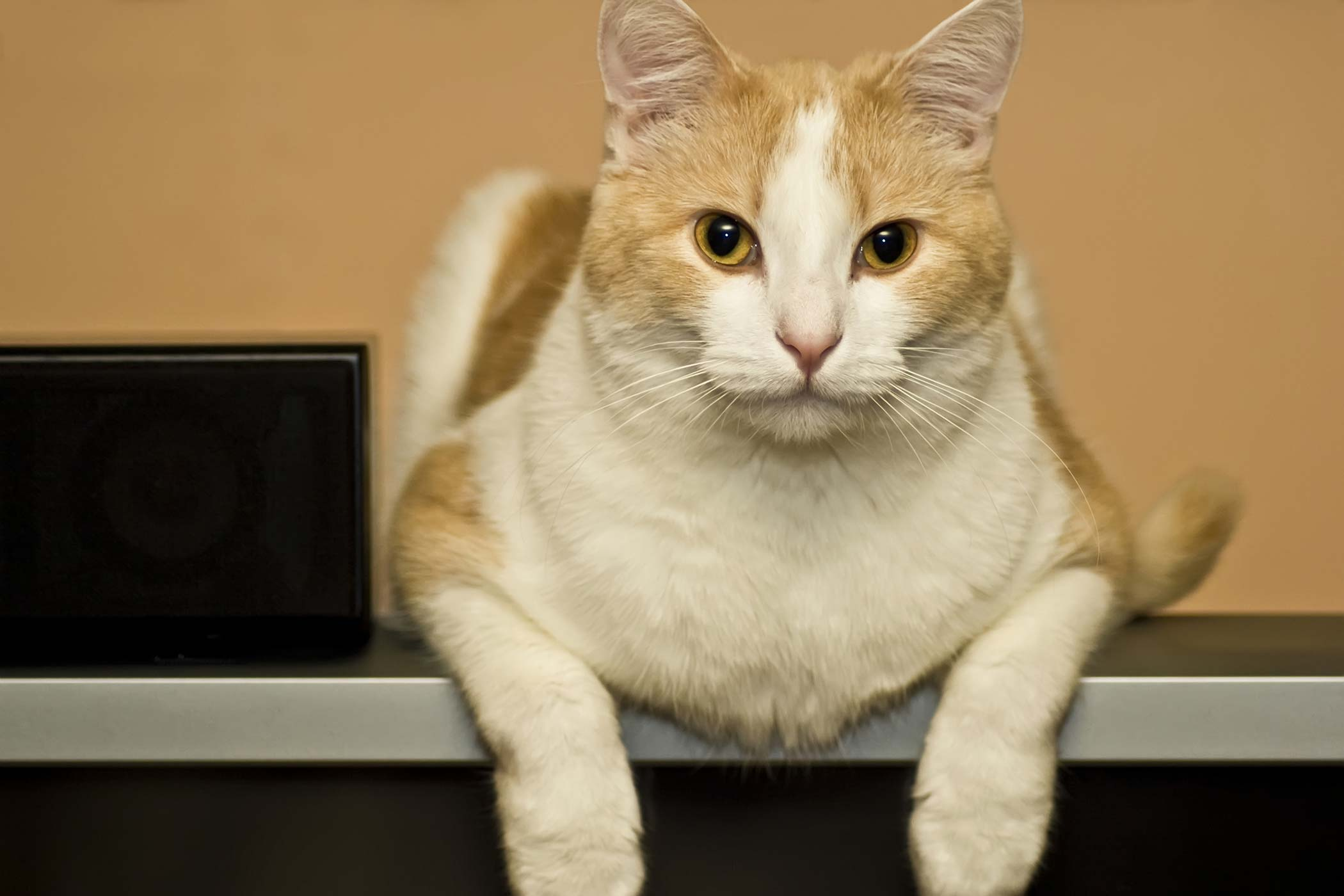 Bacterial Breast Infection in Cats