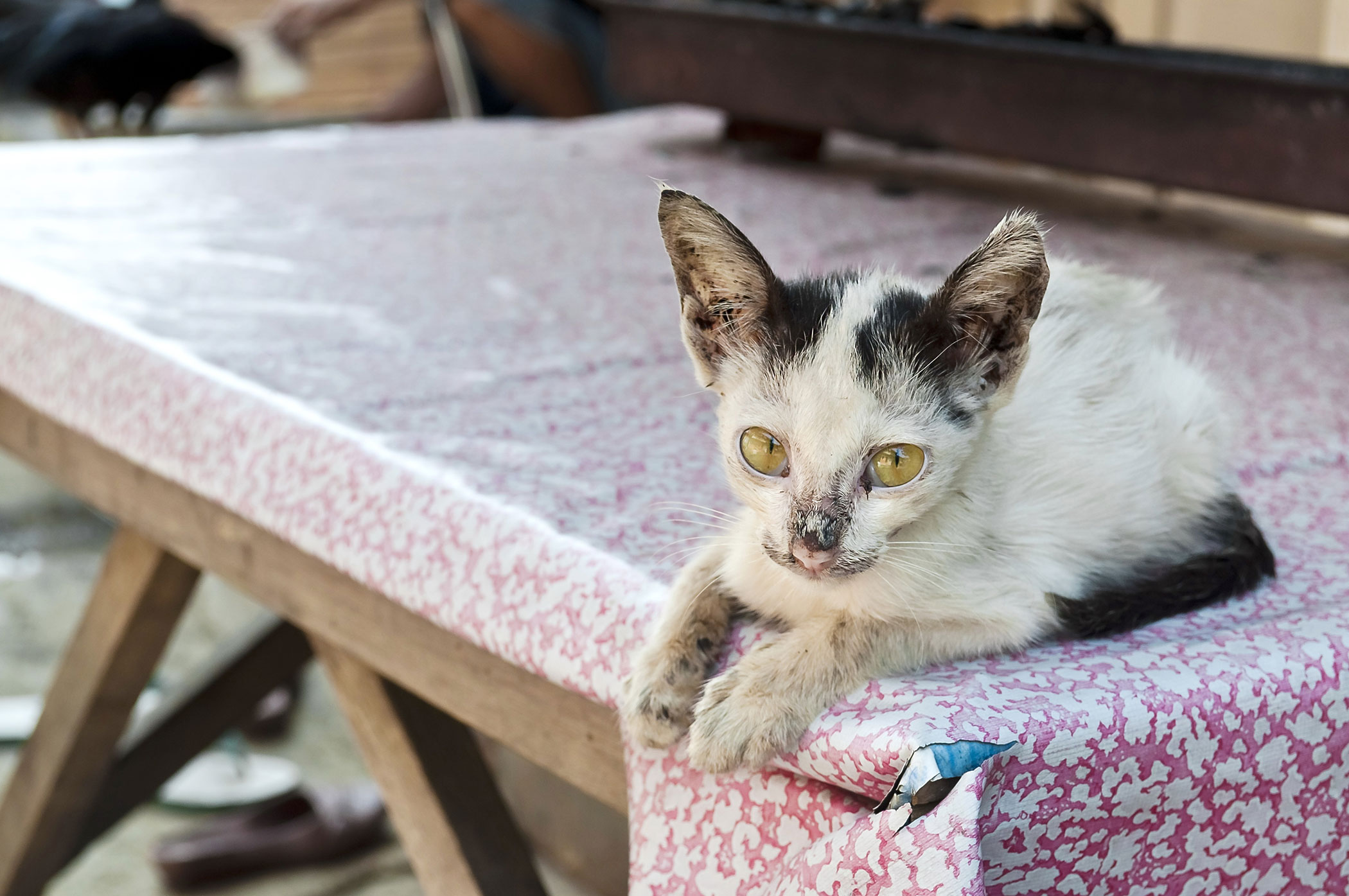 Bacterial Infection in Cats