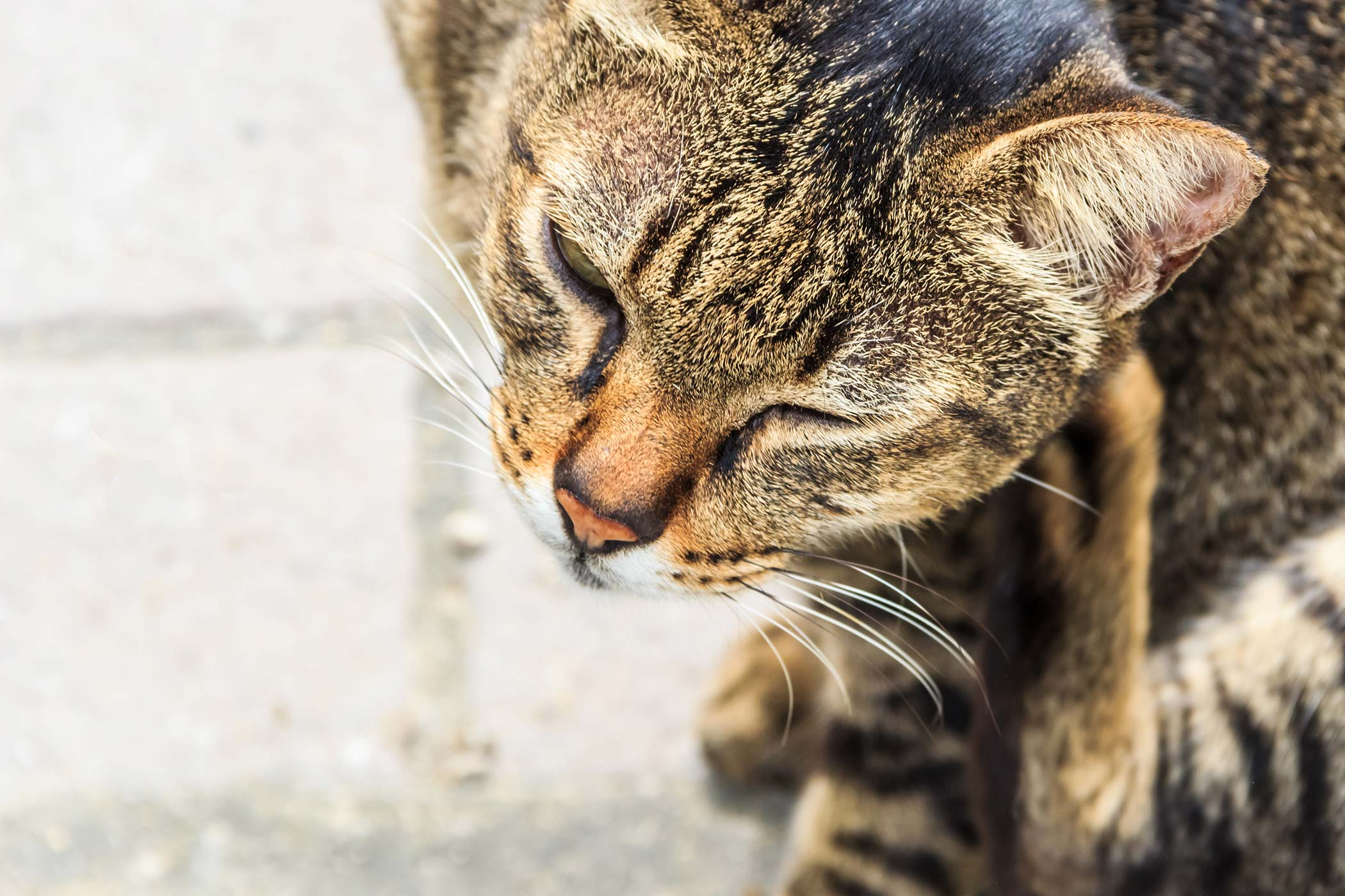 Bacterial Skin Infection in Cats
