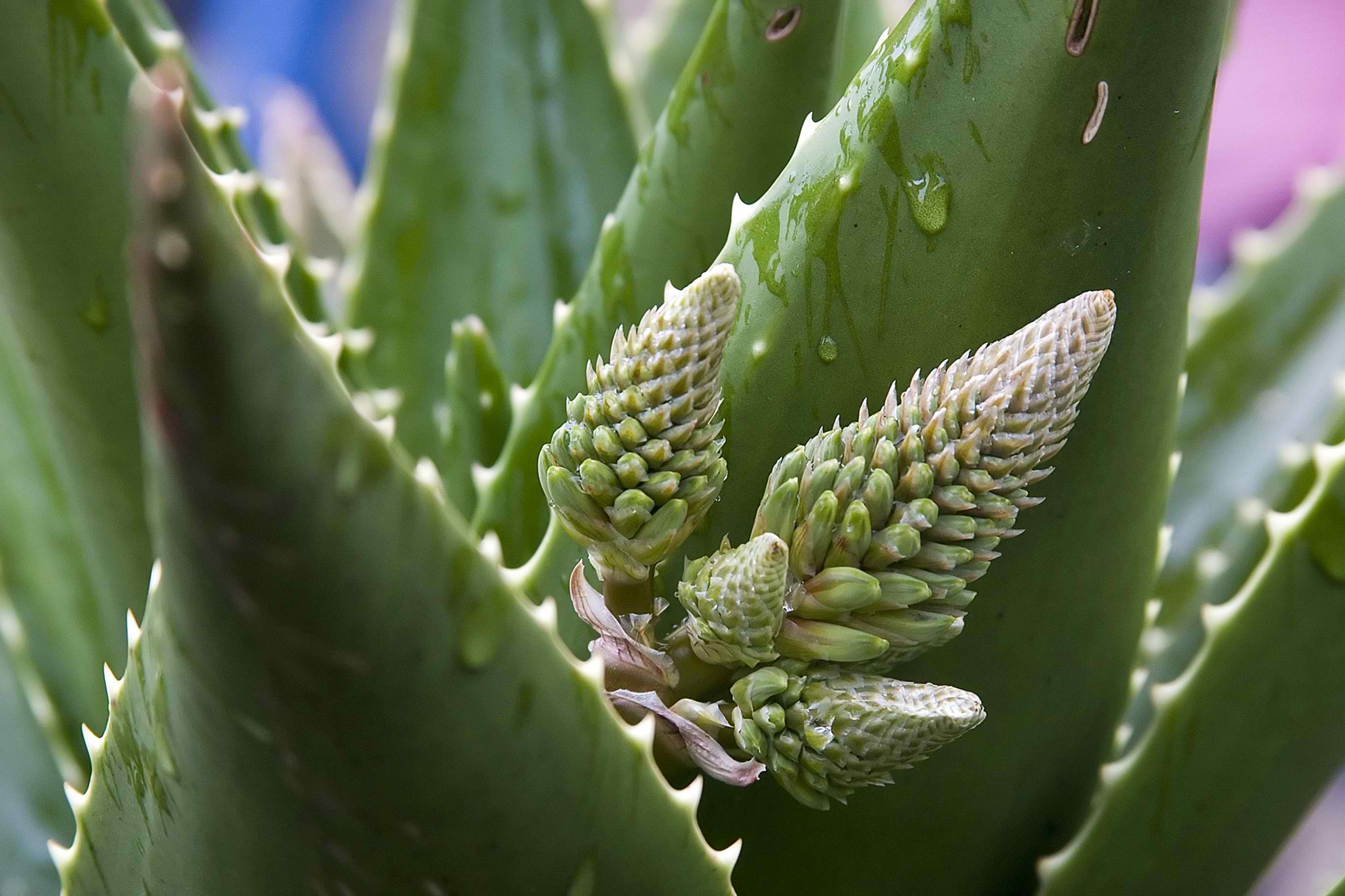 Barbados Aloe Poisoning in Cats