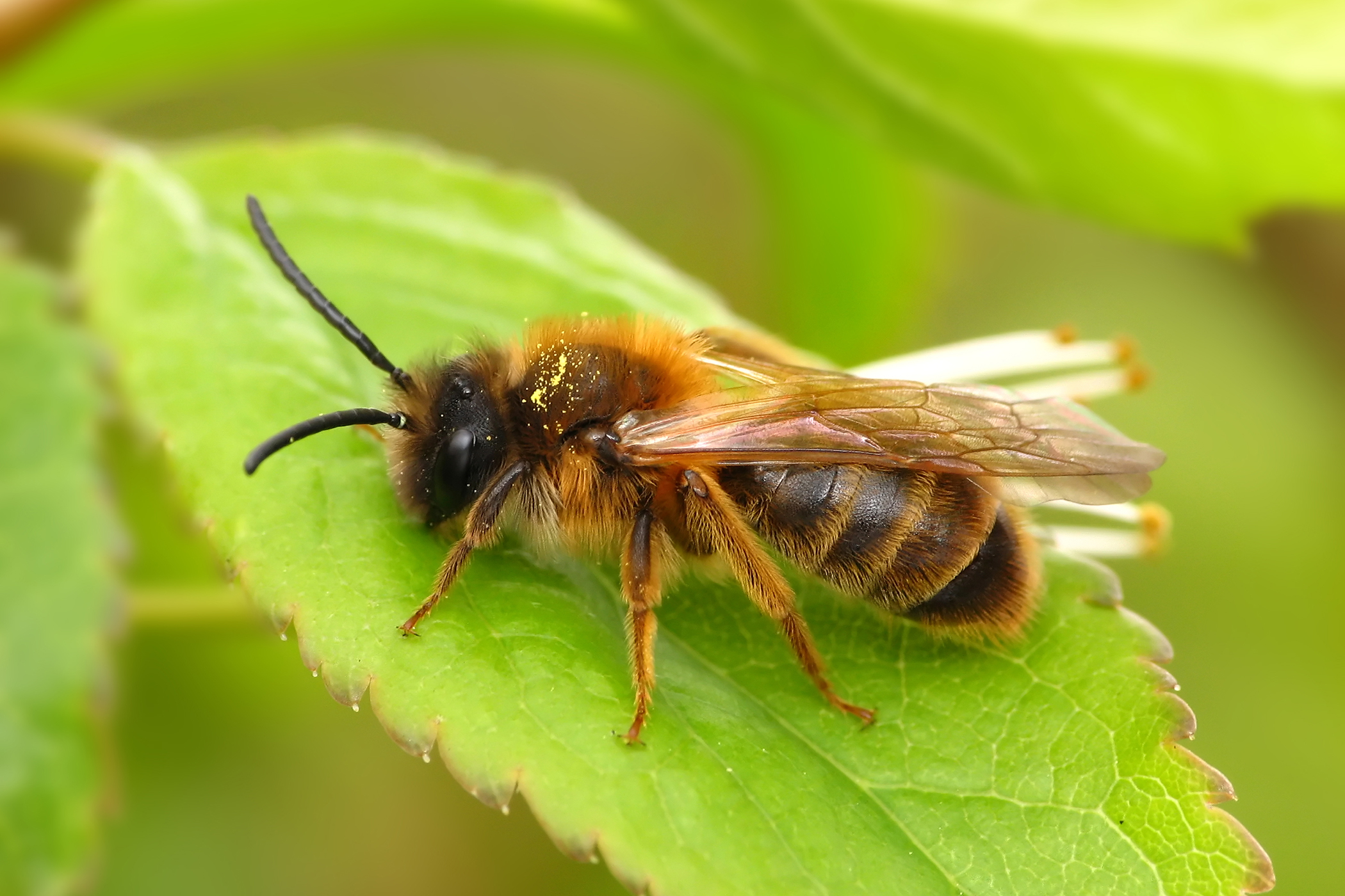 Bee Sting Allergy  in Cats