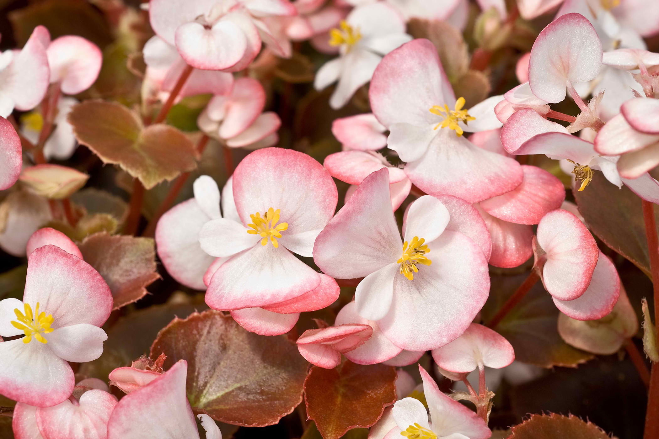Begonia Poisoning in Cats