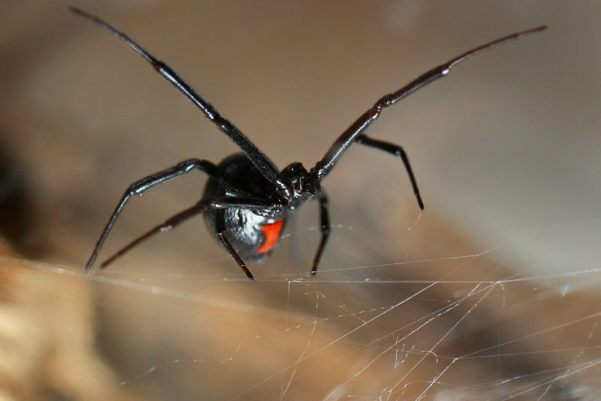 Black Widow Spider Bite Poisoning in Cats