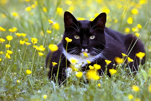 Blastomycosis in Cats