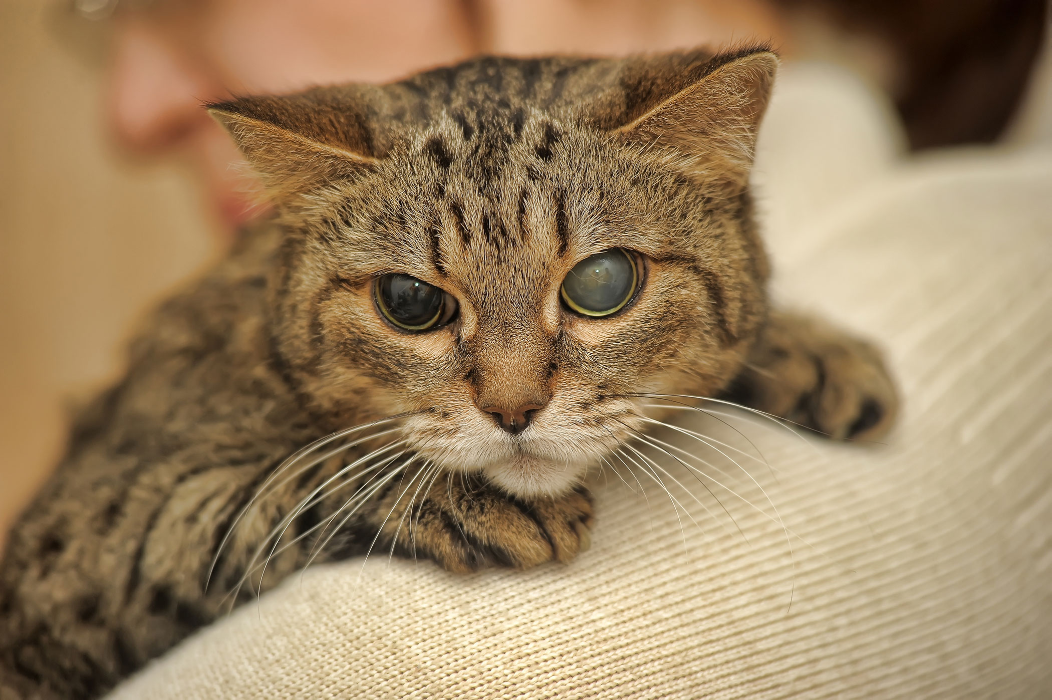 Blind Quiet Eye in Cats - Symptoms, Causes, Diagnosis, Treatment, Recovery, Management, Cost