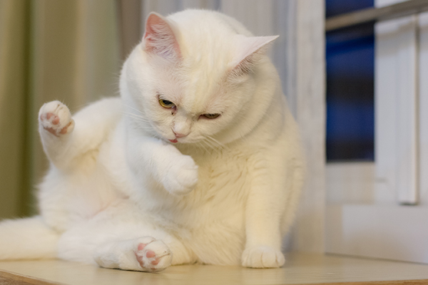 Bone Cancer in Cats